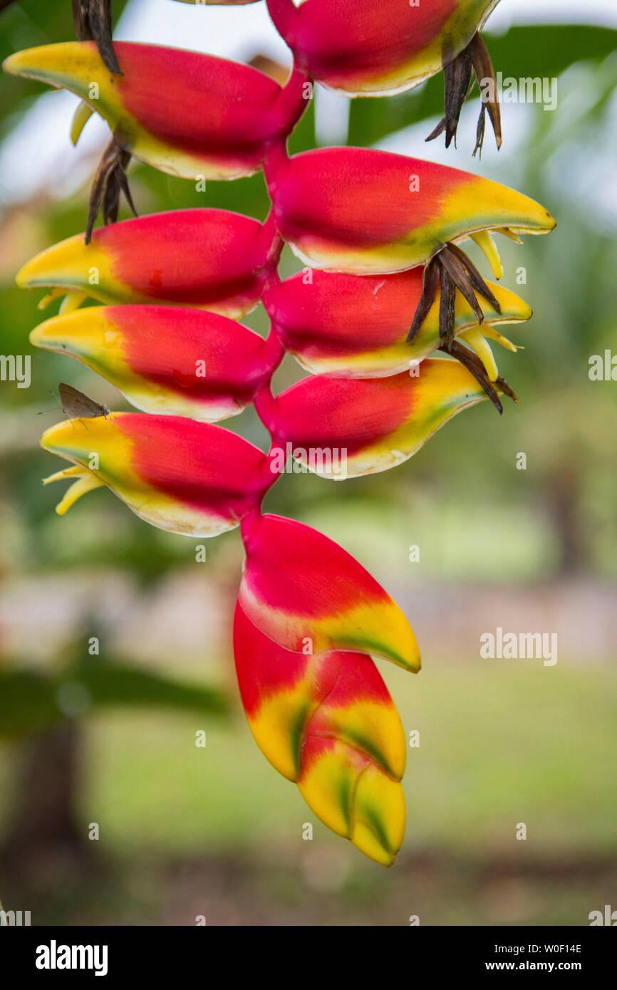Heliconia flower rostrum in a garden in Colombia, San José del Guaviare - Stock Image