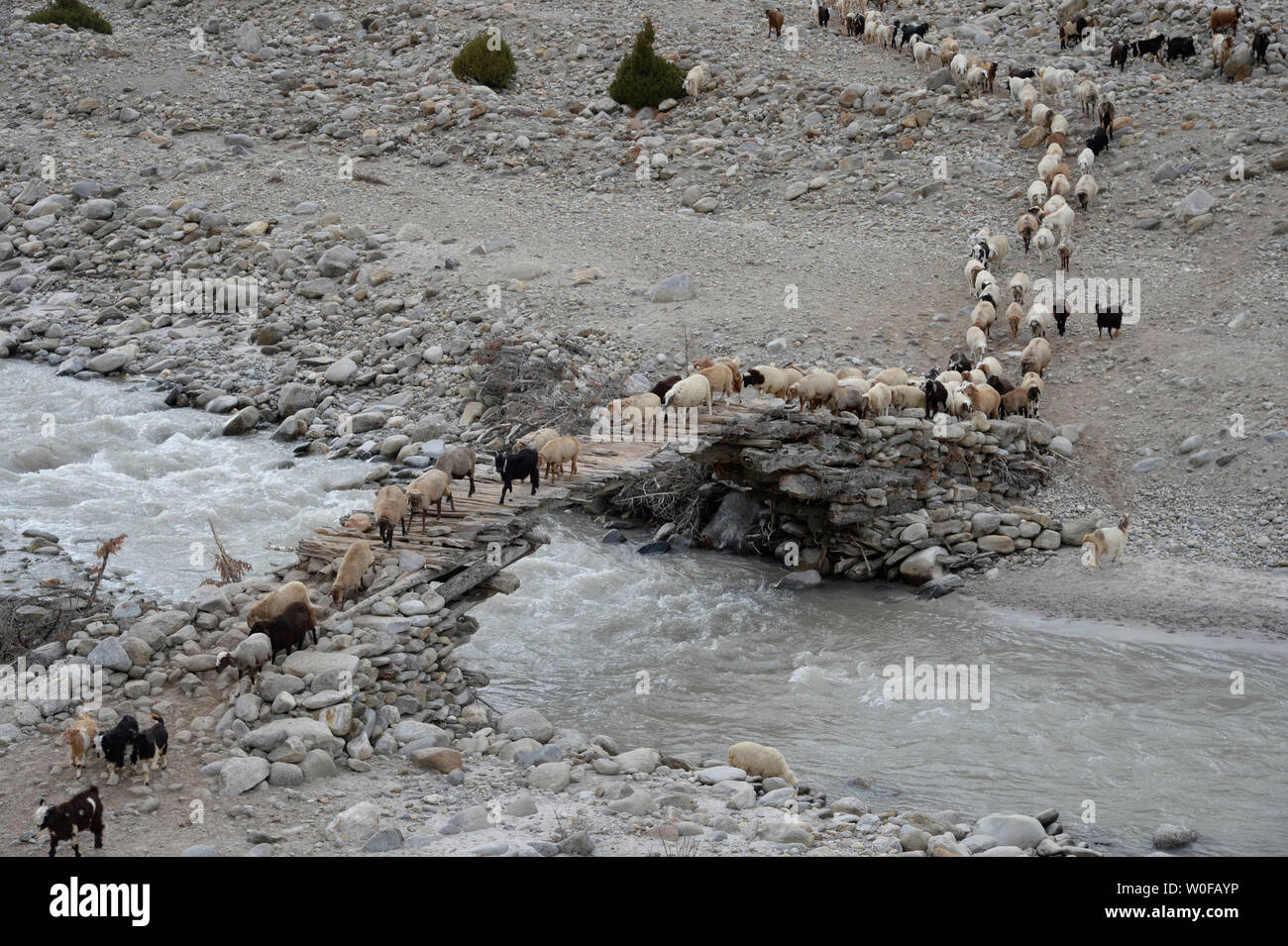 Pakistan, Gilgit Baltistan area, asheep herd is crossing the Shaigiri river at 3500m high - Stock Image