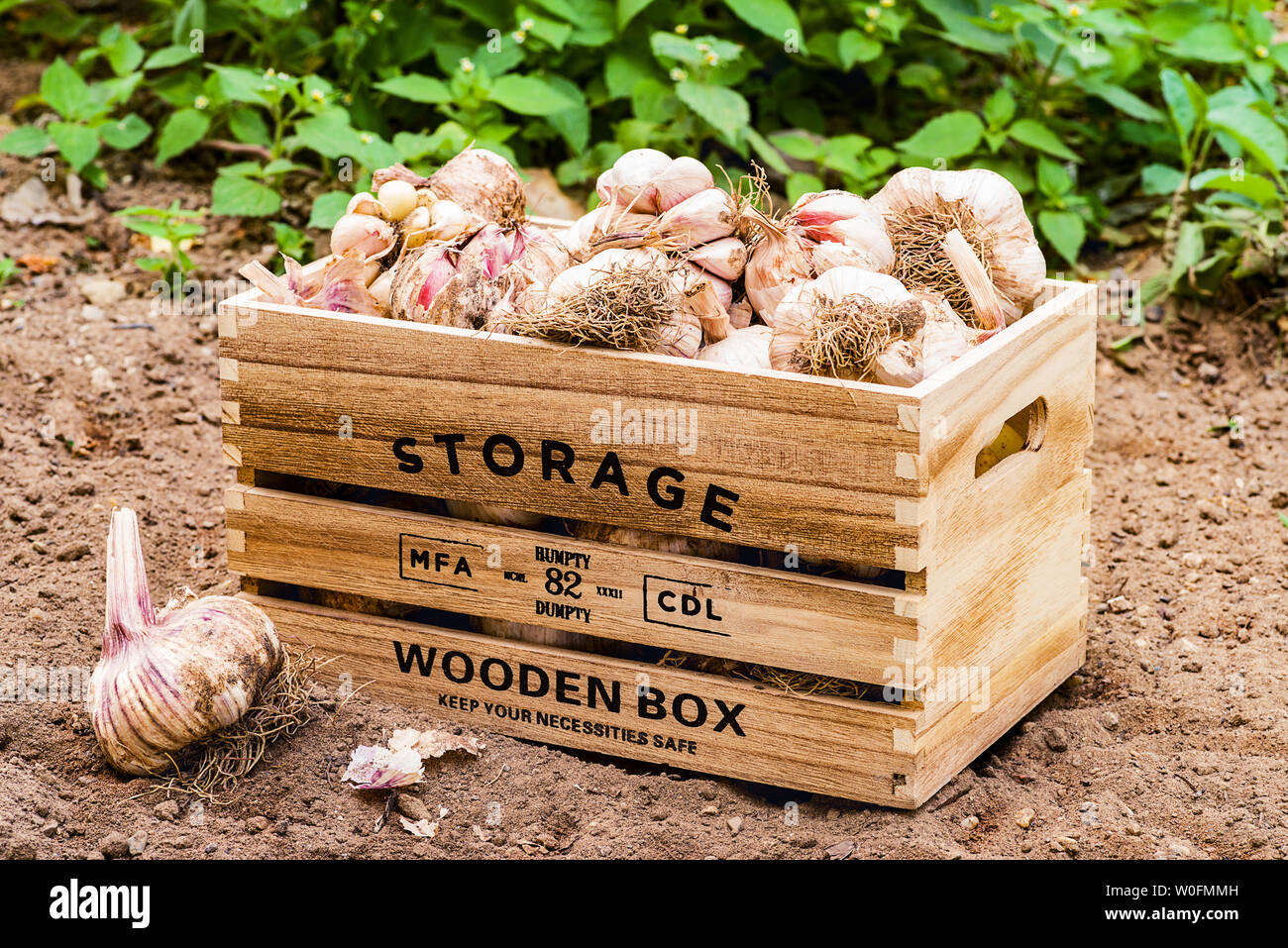 Front view of wooden box containing  freshly picked garlic in a cultivated field Stock Photo