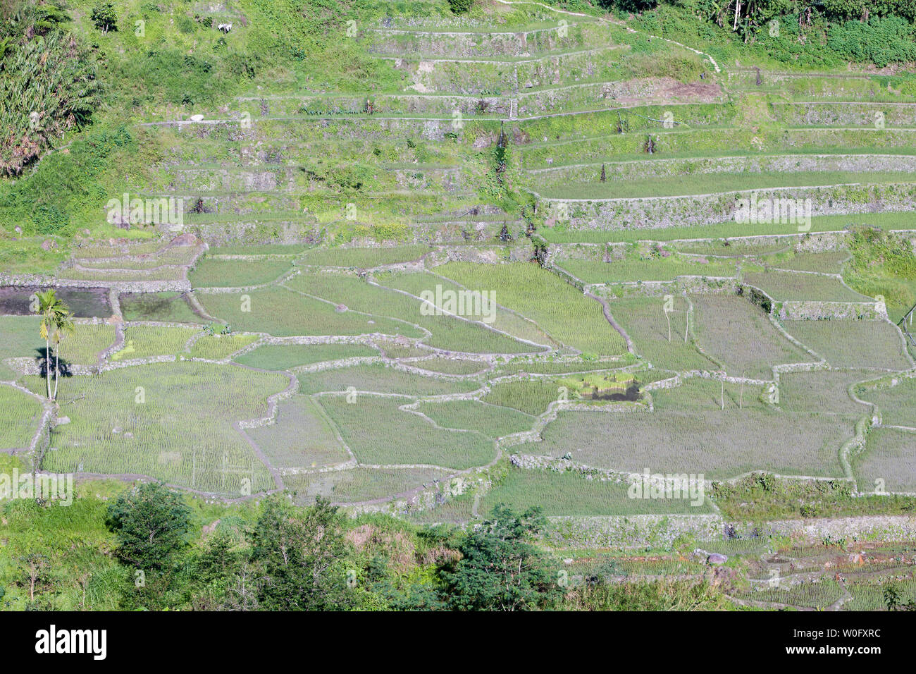 Hapao rice terraces, near Banaue, Philippines - Stock Image