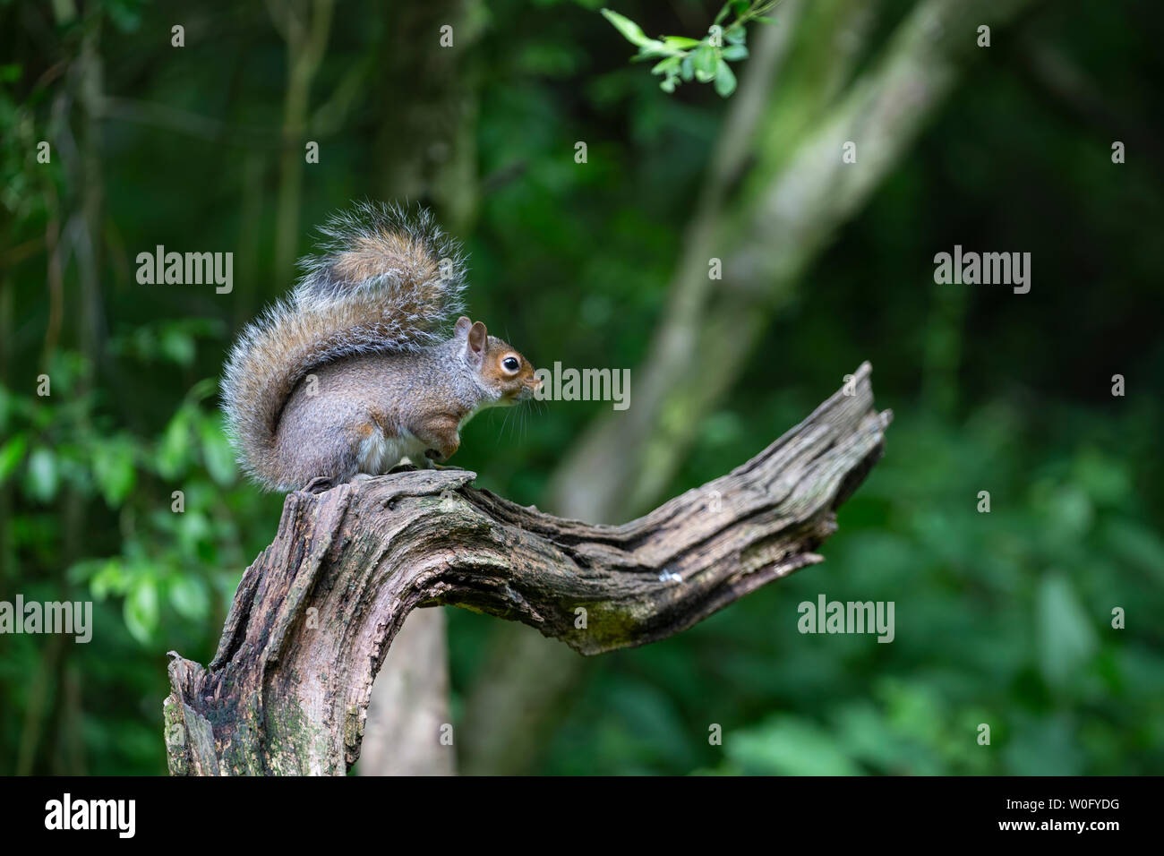 Eastern Gray squirrel or Grey squirrel Sciurus carolinensis siting on an attractive curved tree branch in profile displaying its long bushy tail Stock Photo