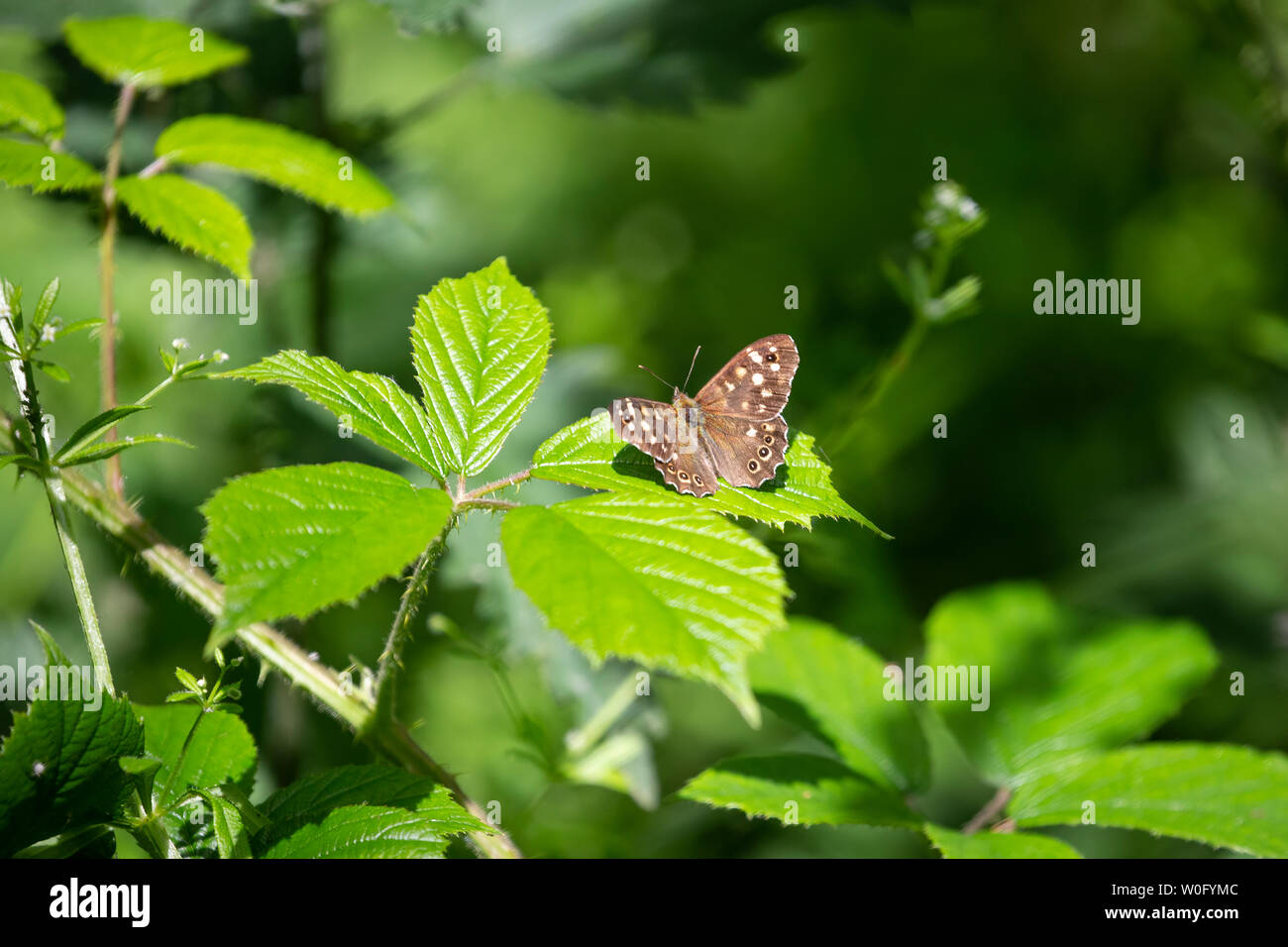 Speckled wood butterfly Pararge aegeria with wings open in the sunshine and settled on a bramble bush - Stock Image