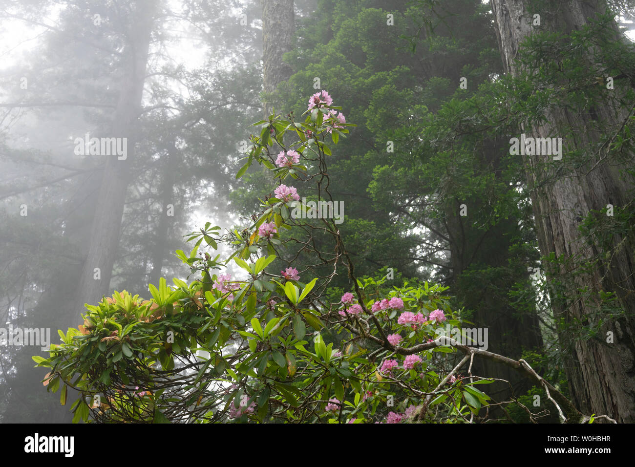 Coastal Mist Hazy Green Towering Trees Pink Rhododendron Lady Bird Johnson Grove Redwoods National Park California. Tallest trees in  World, 1000s of - Stock Image
