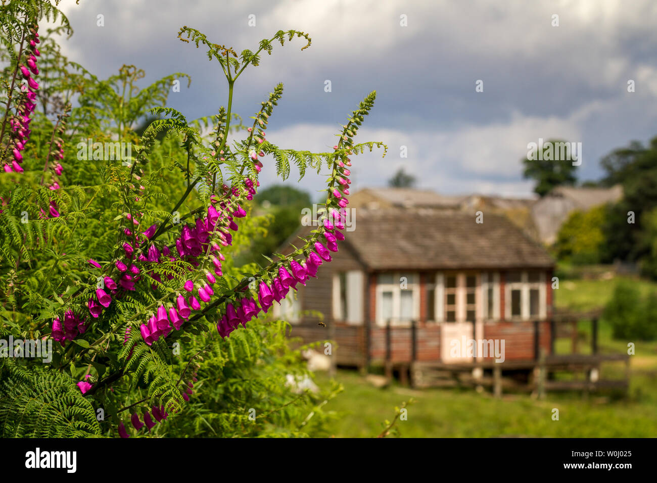 Bee flying towards pink foxgloves on a country lane near a ramshackle summerhouse once used by tourists in the summer, Burley Woodhead, Yorkshire, UK - Stock Image
