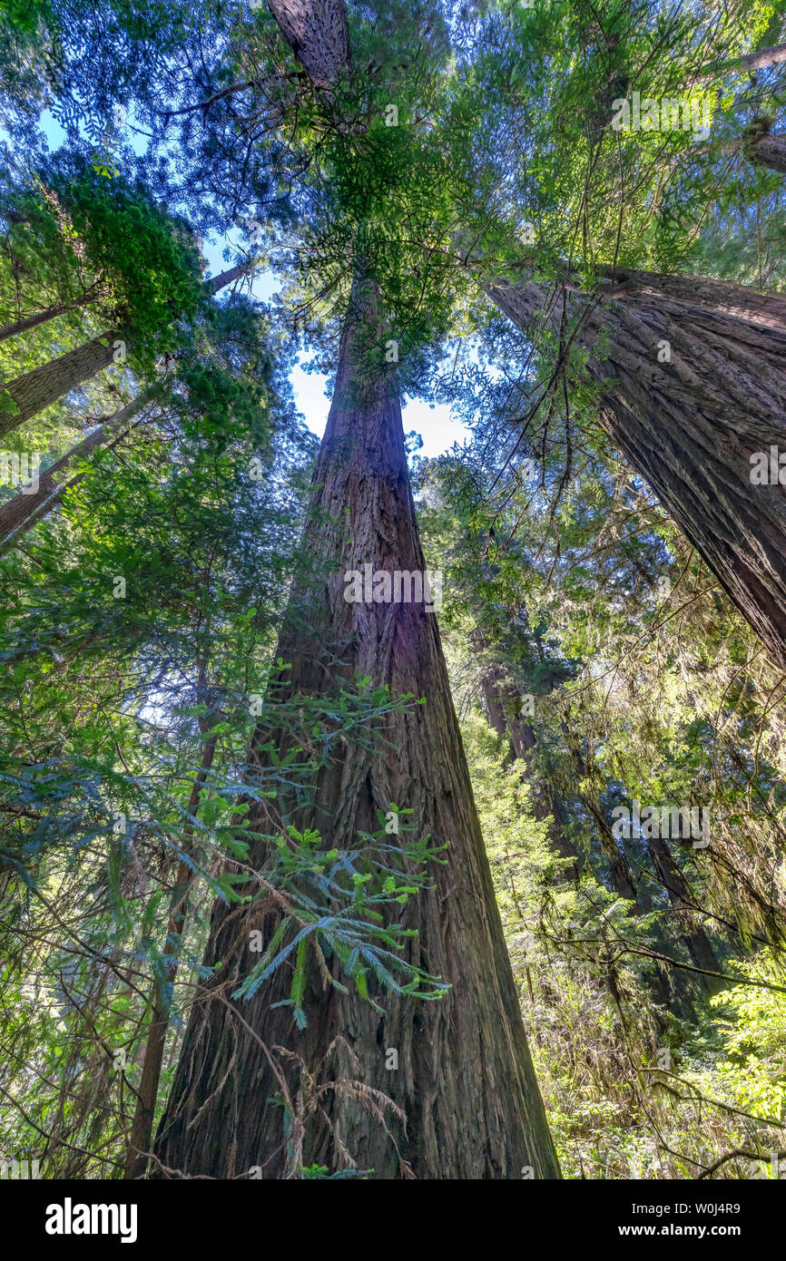 Green Towering Redwoods National Park Newton B Drury Drive Crescent City California. Tallest trees in  World, 1000s of year old, size large buildings - Stock Image