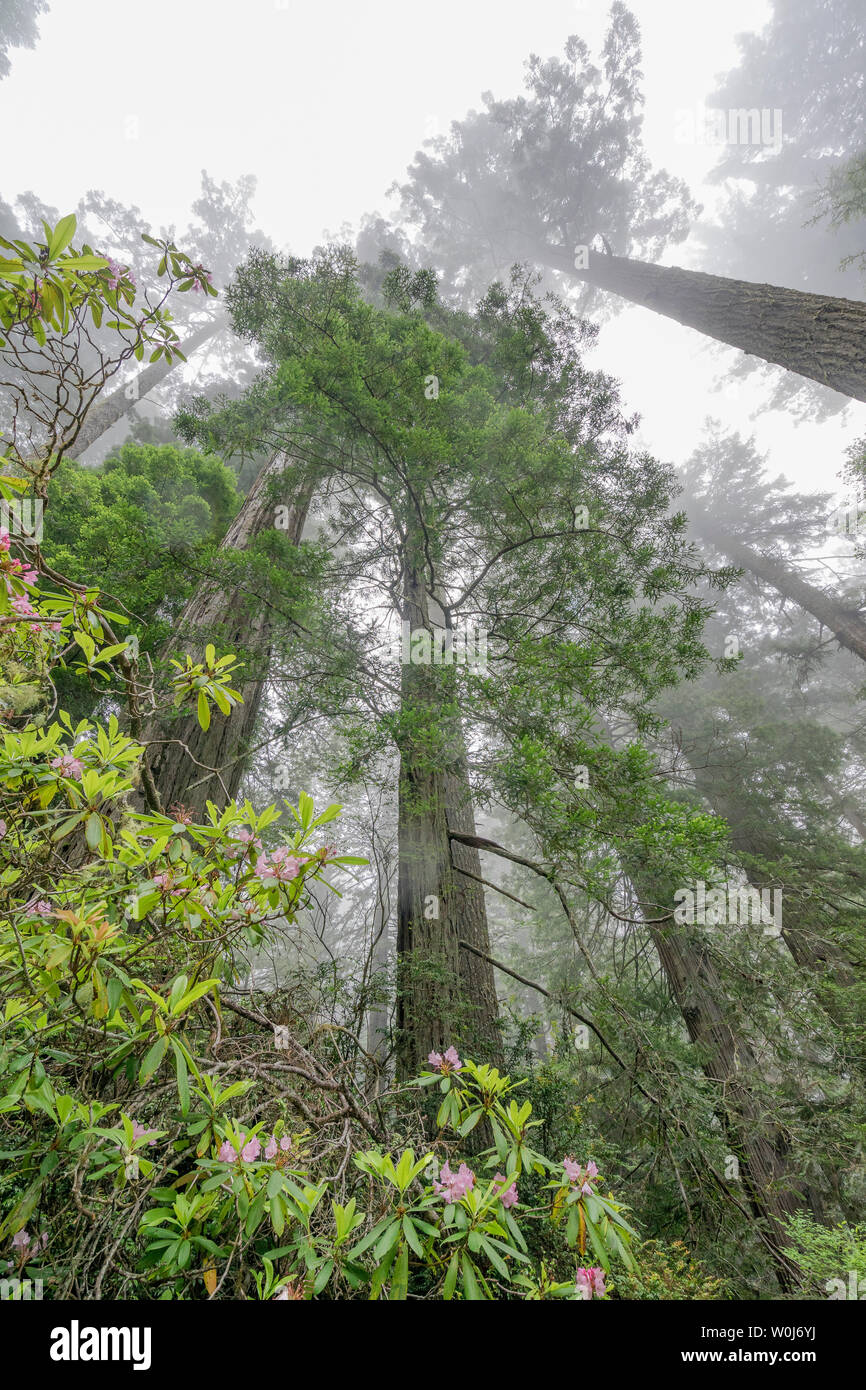Coastal Mist Green Towering Trees Pink Rhododendron Lady Bird Johnson Grove Redwoods National Park California. Tallest trees in  World, 1000s of year - Stock Image