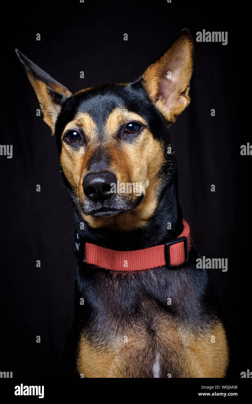 Stray mongrel rescued thai dog resting soft black background - Stock Image