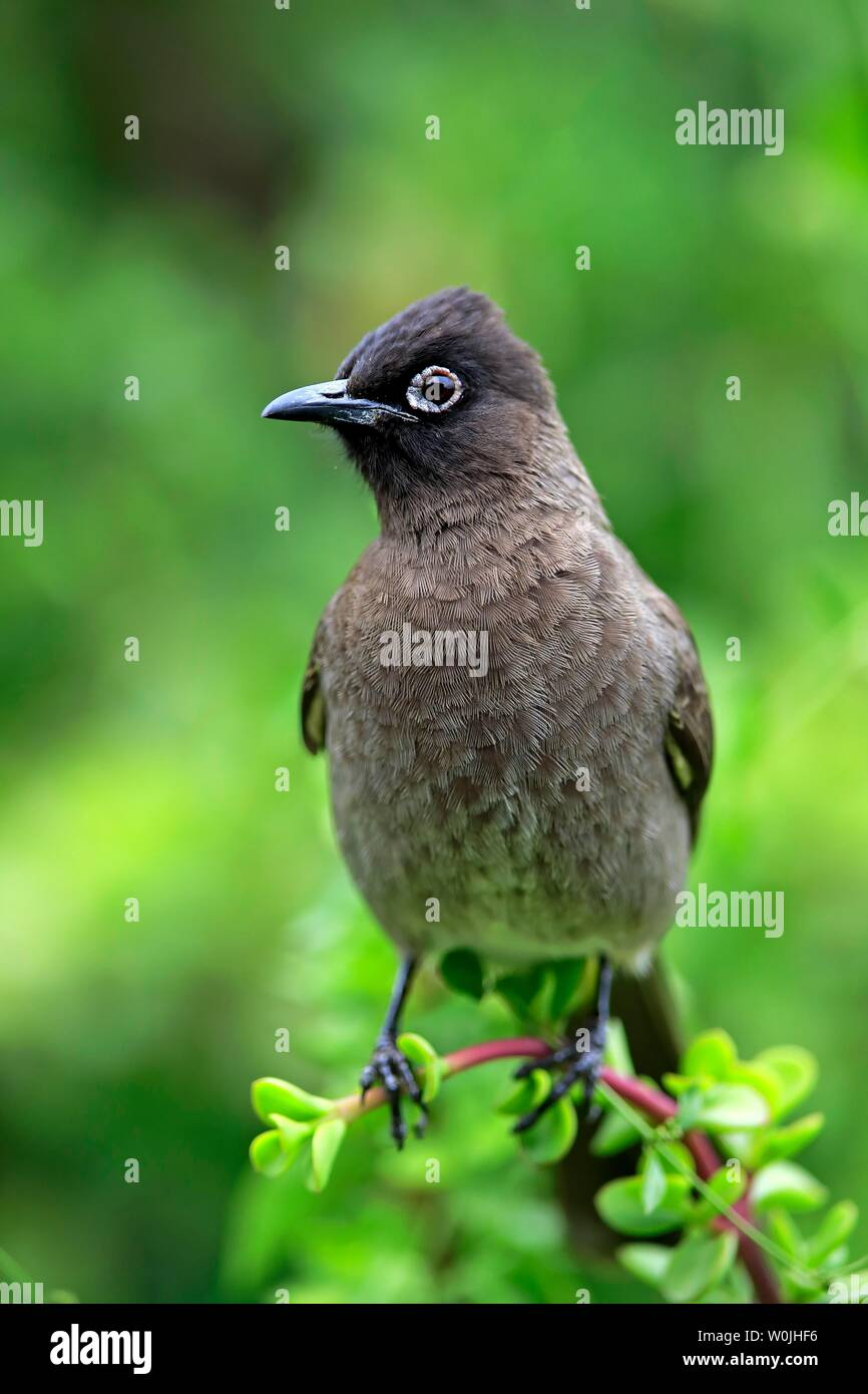 Cape Bulbul (Pycnonotus capensis), adult, Addo Elephant National Park, Eastern Cape, South Africa Stock Photo