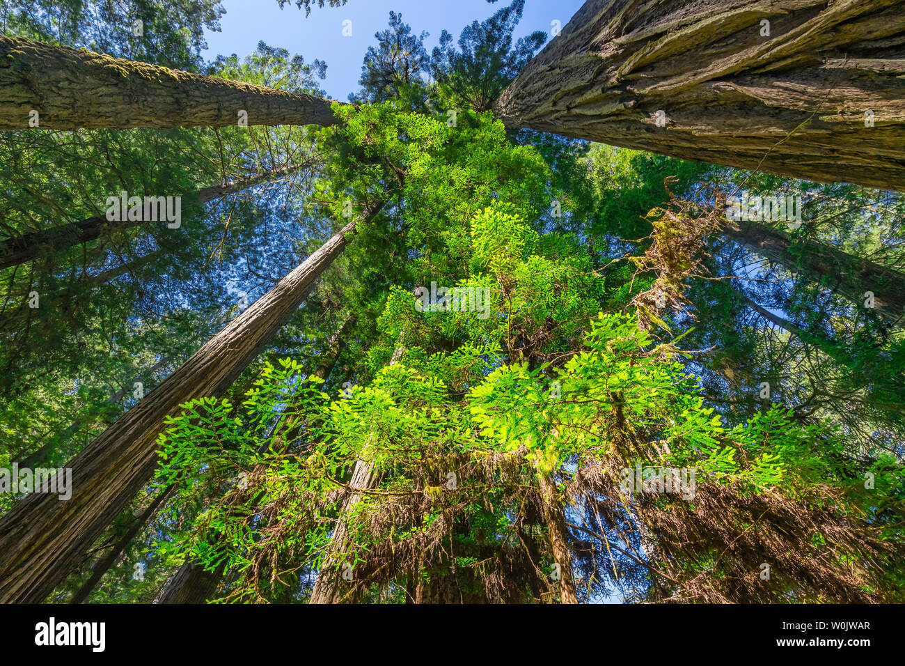 Green Towering Redwoods National Park Newton B Drury Drive Crescent City California. Tallest trees in  World, 1000s of year old, size large buildings Stock Photo