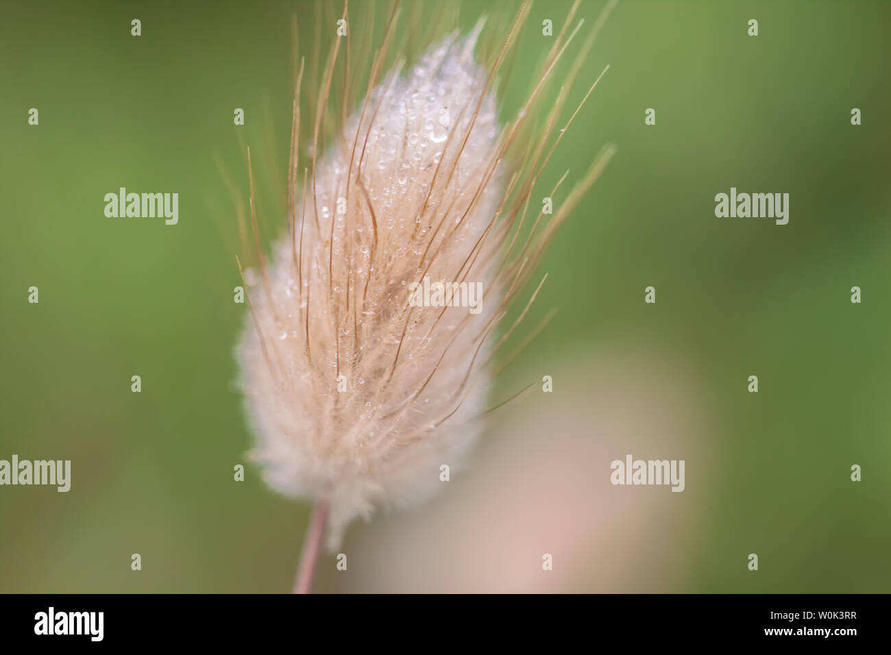 Hare's tail grass flowerhead with morning dew, Point Lobos State Reserve, California, USA - Stock Image