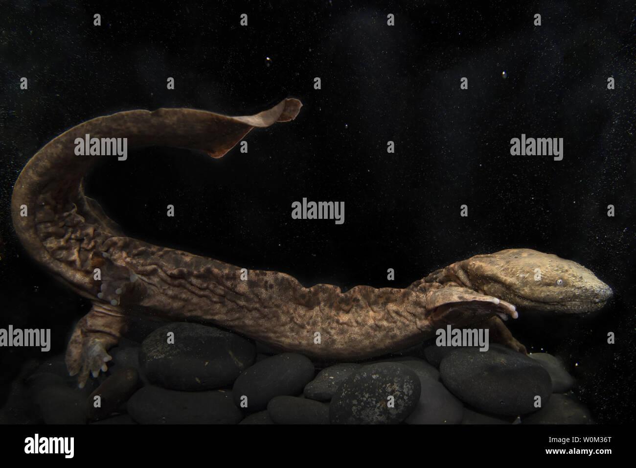 Hellbender Salamander Stock Photos & Hellbender Salamander