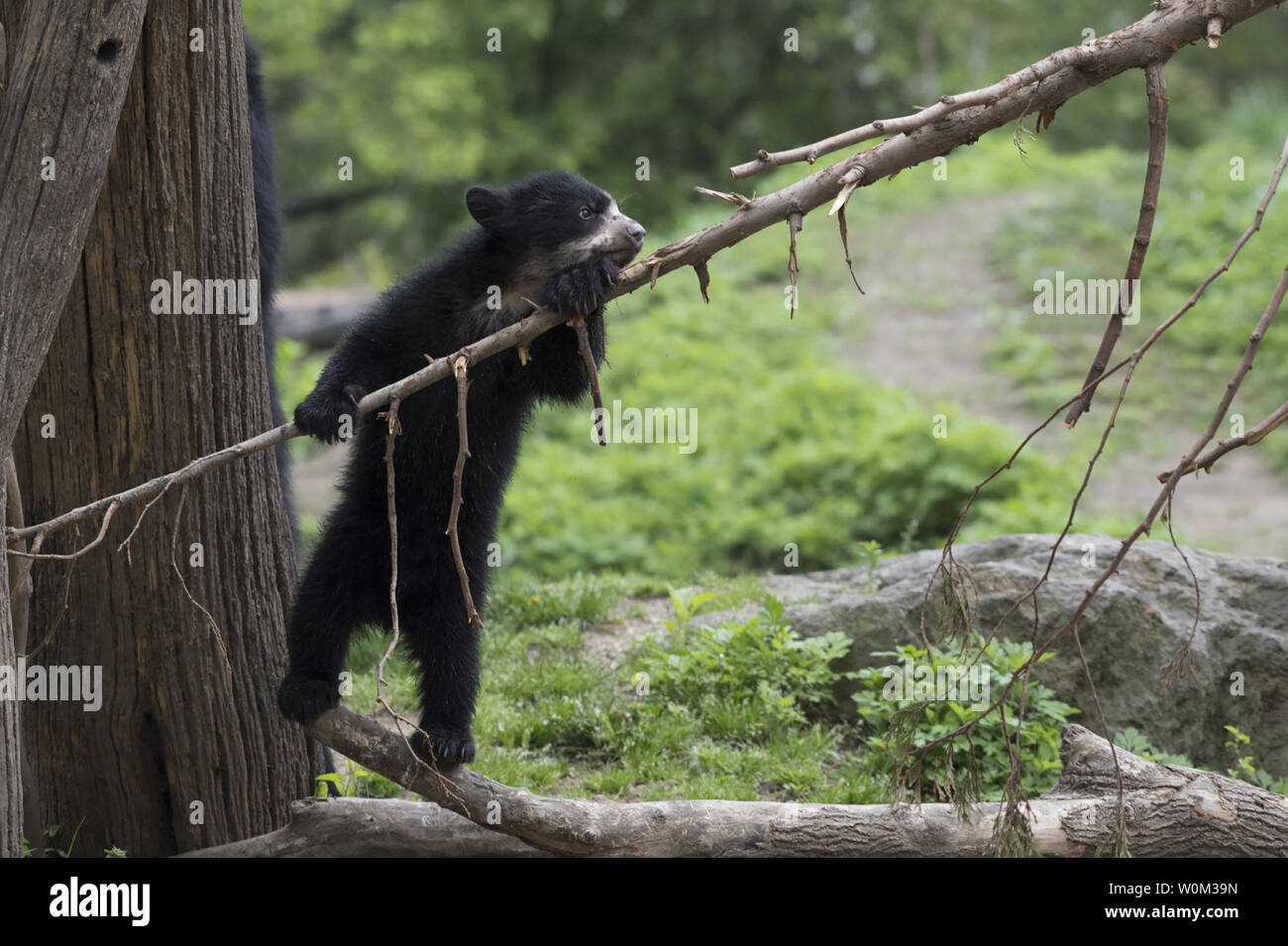A male Andean bear cub, born over the winter at WCS's (Wildlife Conservation Society) Queens Zoo, has made his public debut as seen in this photograph released on May 4, 2017. The cub is the first Andean bear born in New York City. The unnamed cub now weighs 25lbs and is ready to venture into the zoo's bear habitat with his mom to start exploring. Andean bears are the only bear species native to South America. They are also known as spectacled bears due to the markings on their faces that sometimes resemble glasses. They have characteristically short faces and are relatively small in compariso Stock Photo