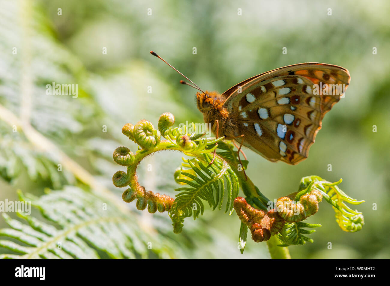 High Brown Fritillary butterfly resting on bracken frond - Stock Image
