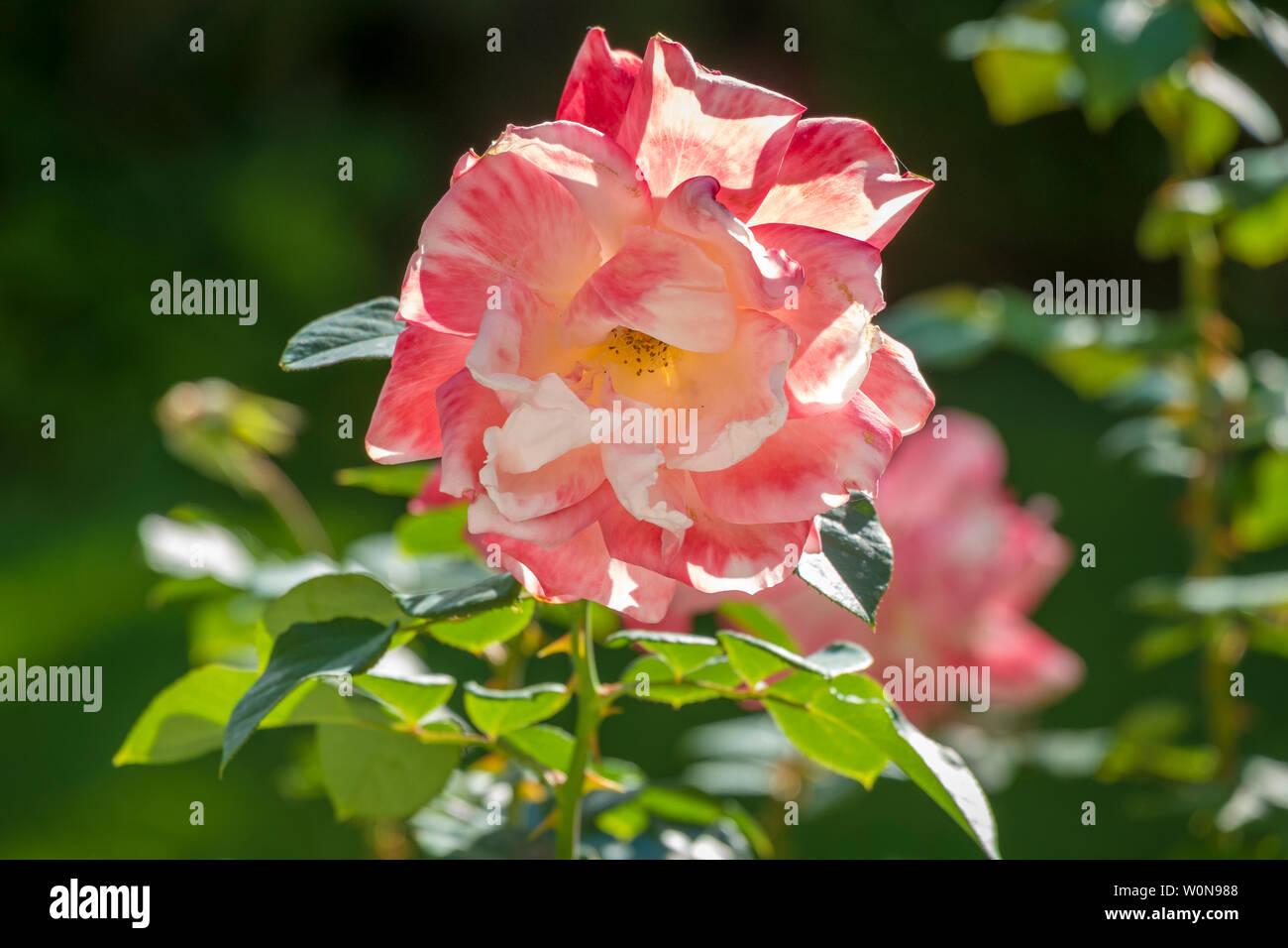wonderful roses on Tenerife - Stock Image