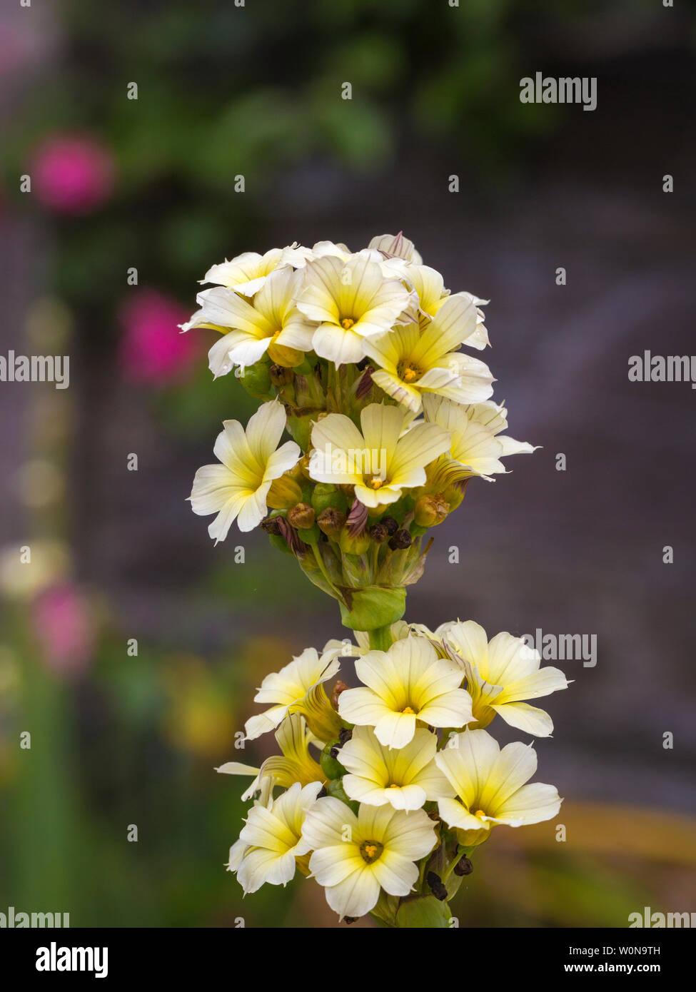 primrose in the kilravock garden on Sheeps Head - Stock Image