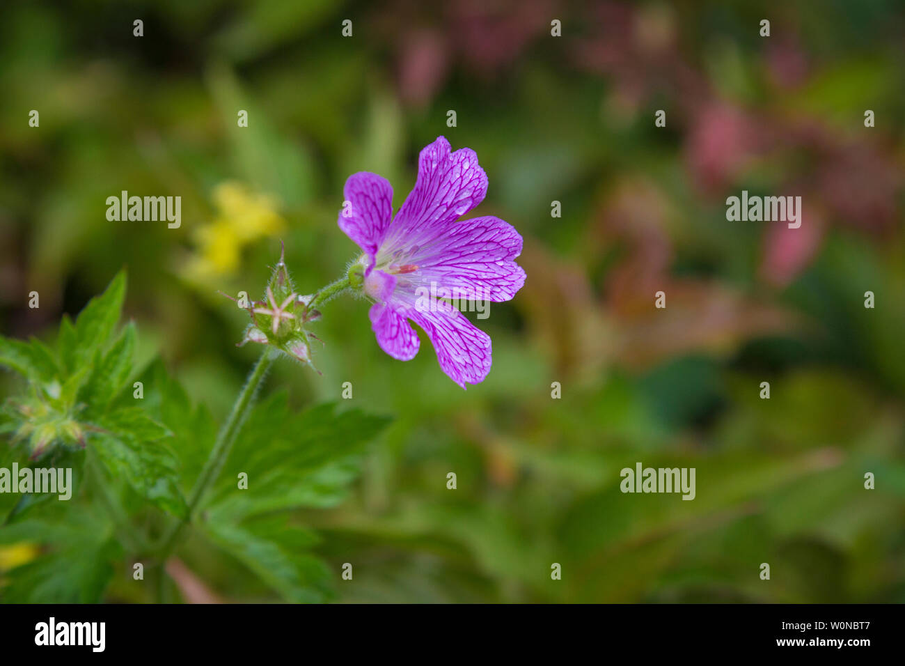 small flower storksbill - Stock Image