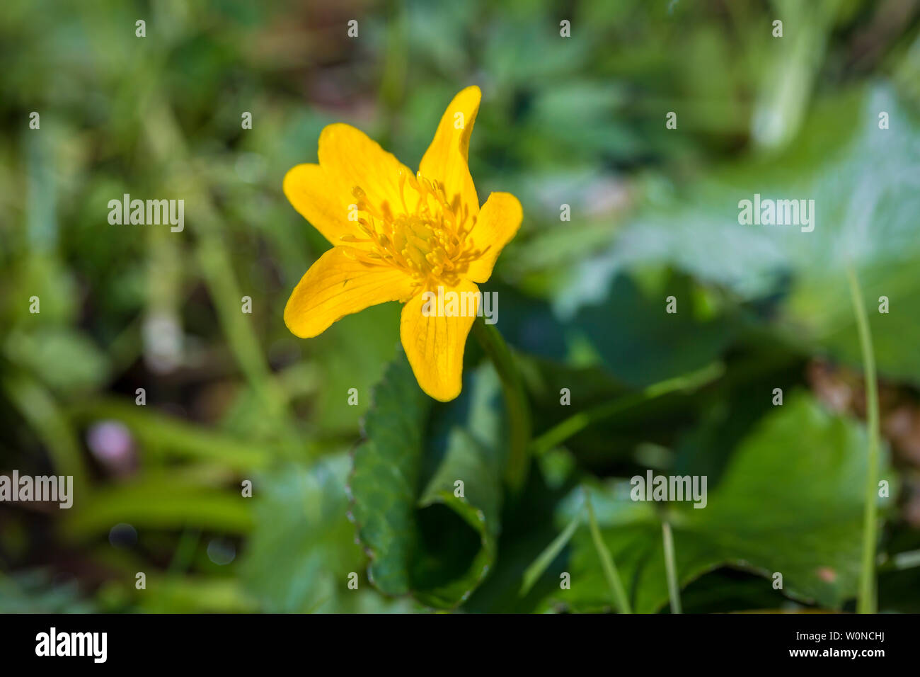 small yellow kingcab in a private garden on Sheeps Head - Stock Image