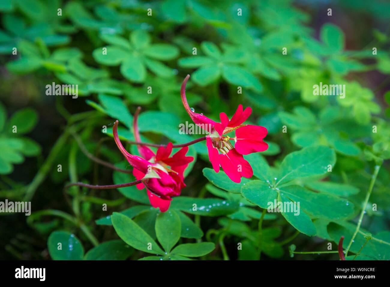 special tropaleolum speciosum flower in a private garden on Sheeps Head - Stock Image