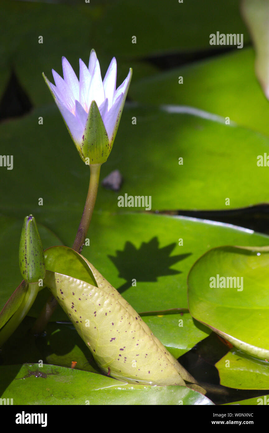 Image of a flower of the species Nymphaea caerulea, known as Egyptian lotus, Egyptian blue lotus or blue water lily. This is an aquatic plant belongin Stock Photo