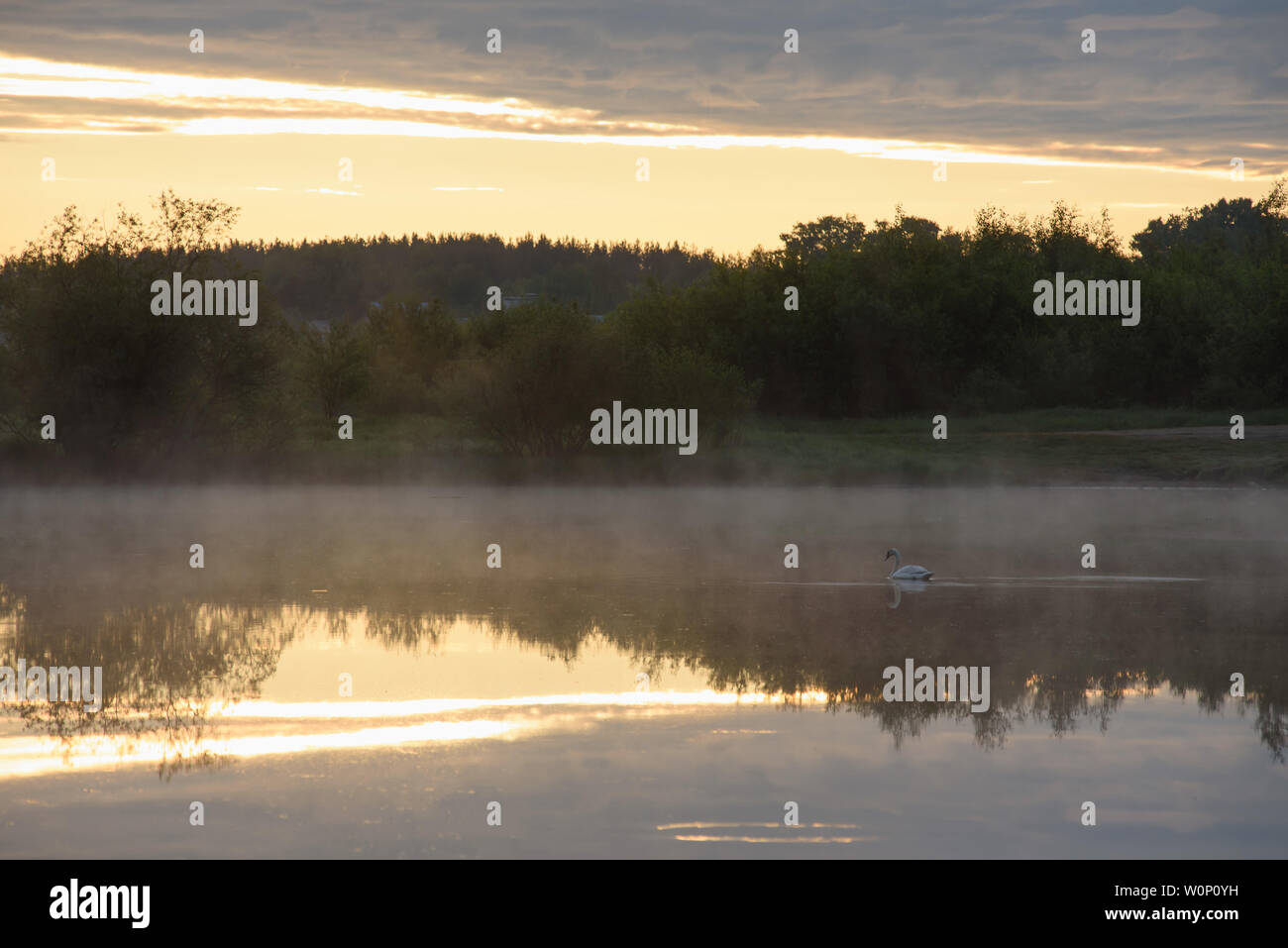 A white swan on a secluded lake in the rays of the rising sun and a haze of fog. - Stock Image