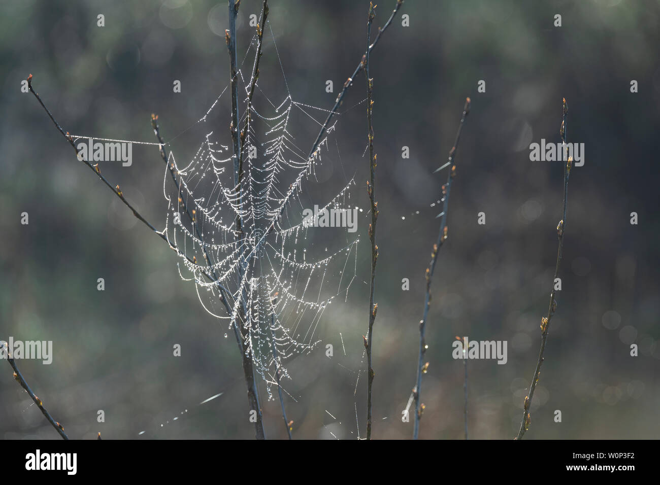 Dewy spider webs, Eastern North America, by Dominique Braud/Dembinsky Photo Assoc - Stock Image