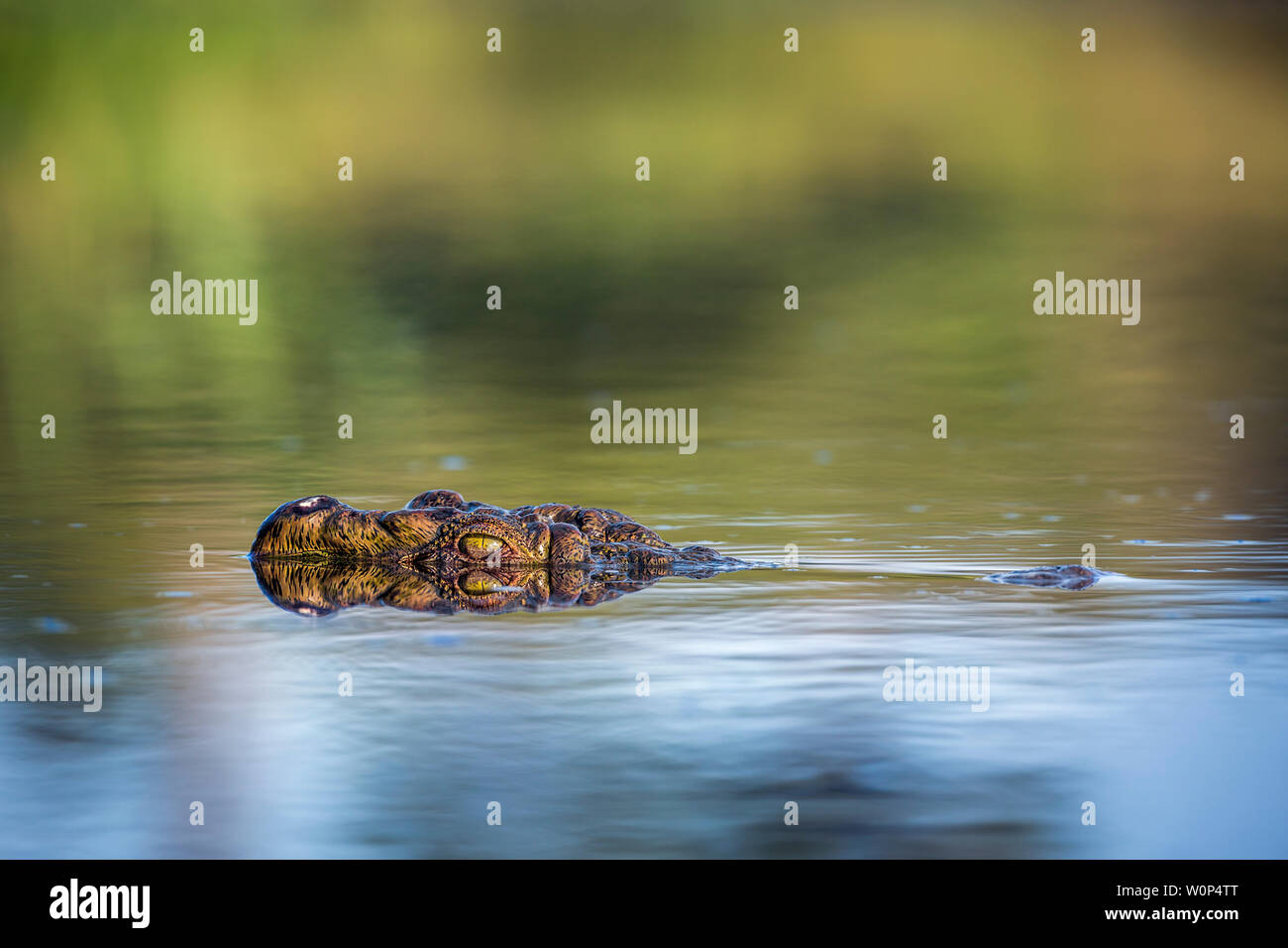 Nile crocodile portrait in surface level in Kruger National park, South Africa ; Specie Crocodylus niloticus family of Crocodylidae - Stock Photo