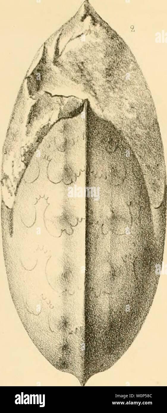 Archive image from page 12 of Description des Mollusques fossiles des. Description des Mollusques fossiles des terrains crétacés de la région Sud des hauts-plateaux de la Tunisie recueil lis en 1885 et 1886 par M. Philippe Thomas, ... descriptiondesmoplates00pr Year: 1889-1890  s Tun _ Mollusques Crétacés - Stock Image