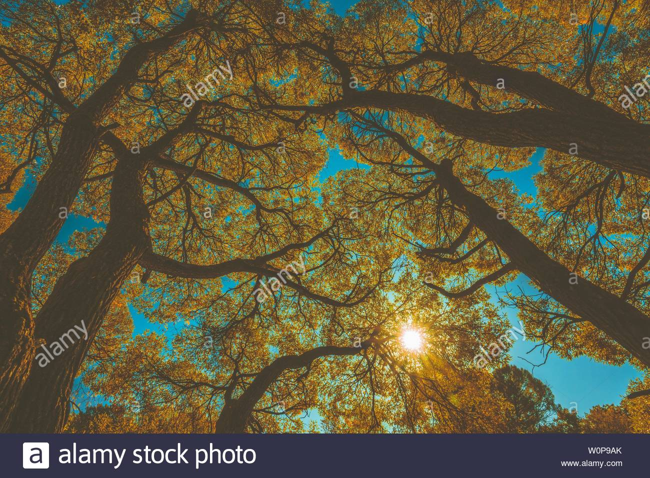 trees with yellow leaves - Stock Image