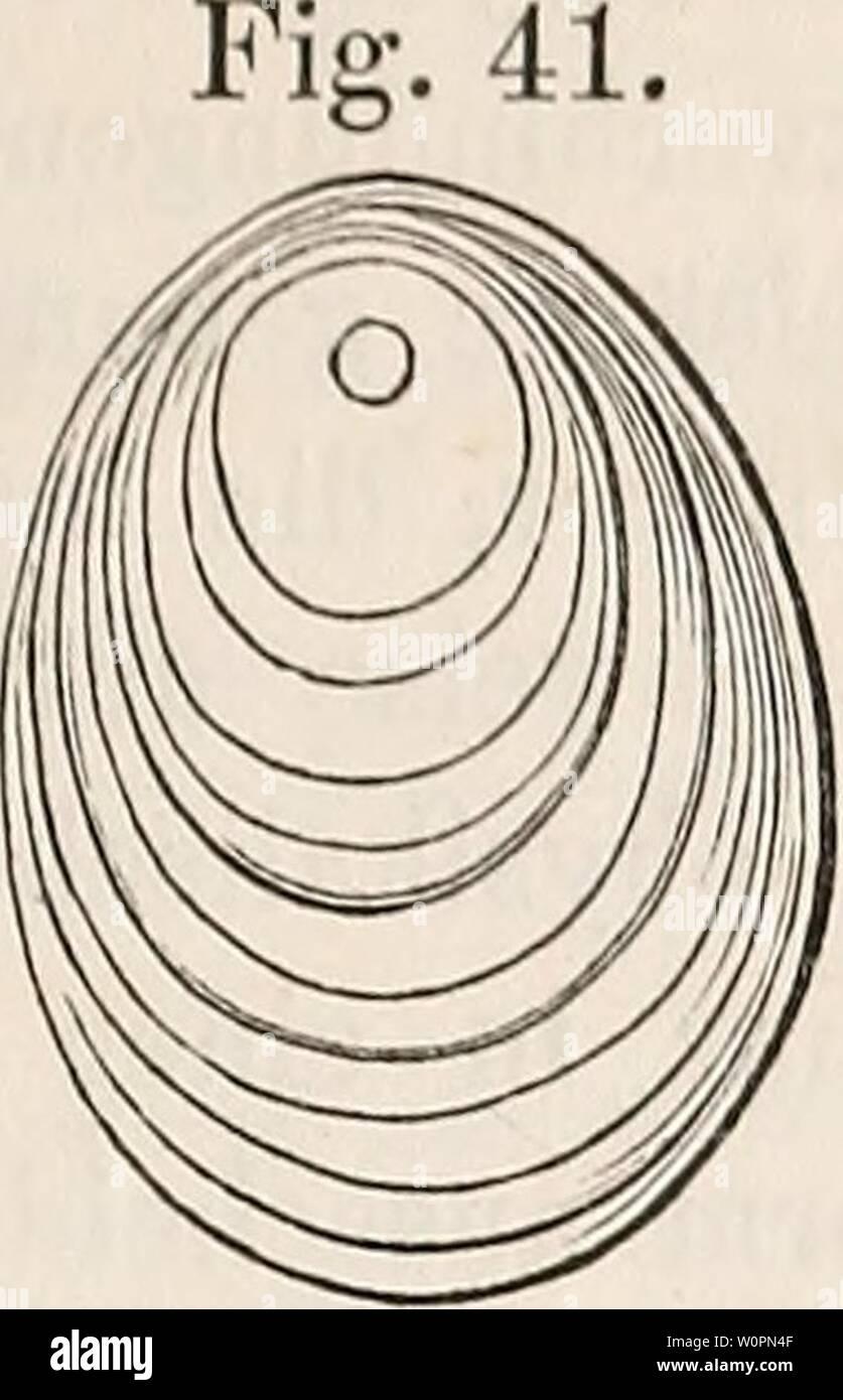 Archive image from page 94 of Der baum (1860). Der baum derbaum00scha Year: 1860  gäiizlicjic Reformiruug- des lUciicJitimgs-Appnratx sowie dos Stativcs, liat iiameiitlicli Geokgeö Obekiiäuseu in Paris das Mikroskoi) zu seiner jetzigen Höh« gebracht. Unter den im Nahrnngsgewebe vorkommenden festen Erzeugnissen der Pflanzenzelle verdient insbe- sondere das Stärkmehl (Fig.40), welches im Korn des Getreides, in der Kartofi'el u. s. w. ein Haupt- nahrungsmittel des Menschen und der Thiere liefert, unsere Aufmerk- samkeit. Das Stärkmehlkorn scheint in allen Fällen aus Schichten zu bestehen, Stock Photo