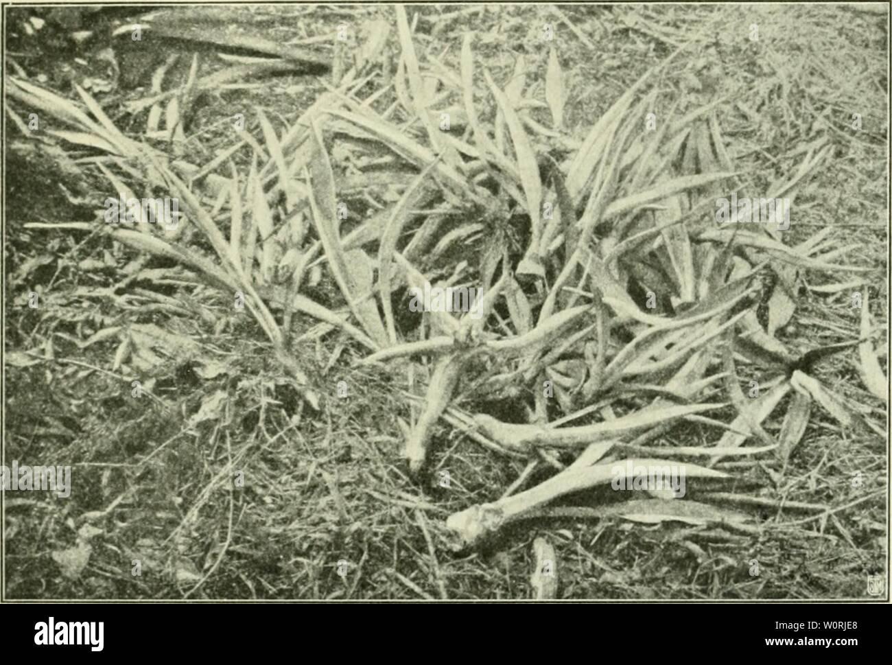 Archive image from page 442 of Der Tropenpflanzer; zeitschrift fr tropische. Der Tropenpflanzer; zeitschrift fr tropische landwirtschaft dertropenpflanze15berl Year:   — 237 — Zwischenraum von i]/ ni /.wischen den cin/.ehien Pflanzen. In anderen Gegenden erweitert man die Entfcrnunj;- zwischen den Reihen bis zu 3 m, in noch anderen pflanzt man auf 2,10 bis 2,50 m im Quadrat. Die Anpflanzung mit Abständen von 2 m ist weniger günstig, weil dadurch (He Reinigung der Felder am Ende des zweiten und während des dritten Jahres sehr erschwert wird. Die Zapupe-Felder werden in Tafeln von mehr oder weni - Stock Image