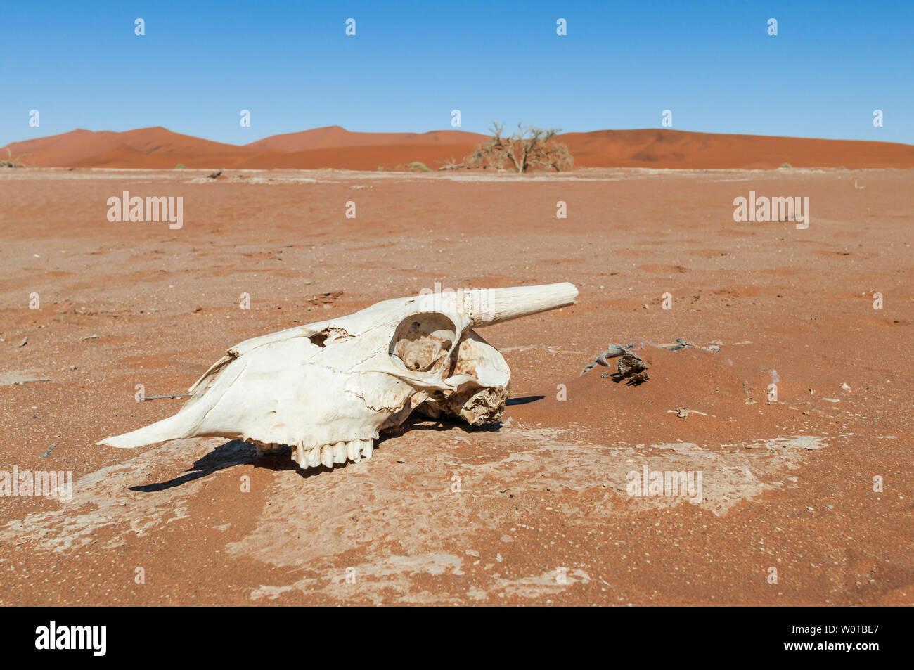 Tierschaedel von einer Antilope in der Namib Wueste, Duenen bis zum Horizont, Namibia, Afrika. - Stock Image