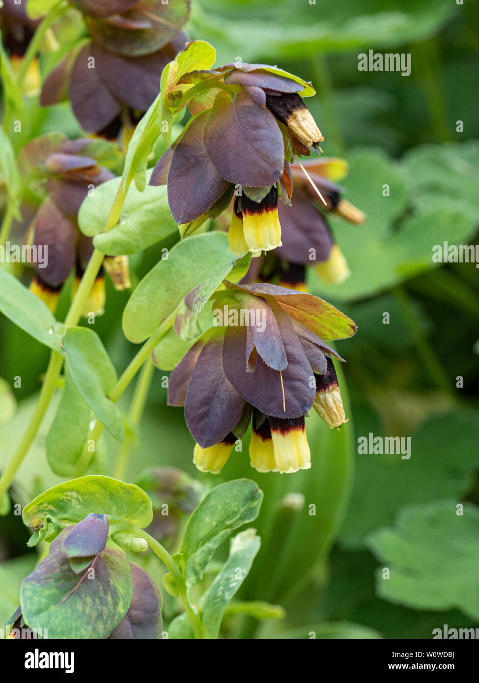 A close up of the bright yellow tipped flowers of Cerinthe major Yellow Gem - Stock Image