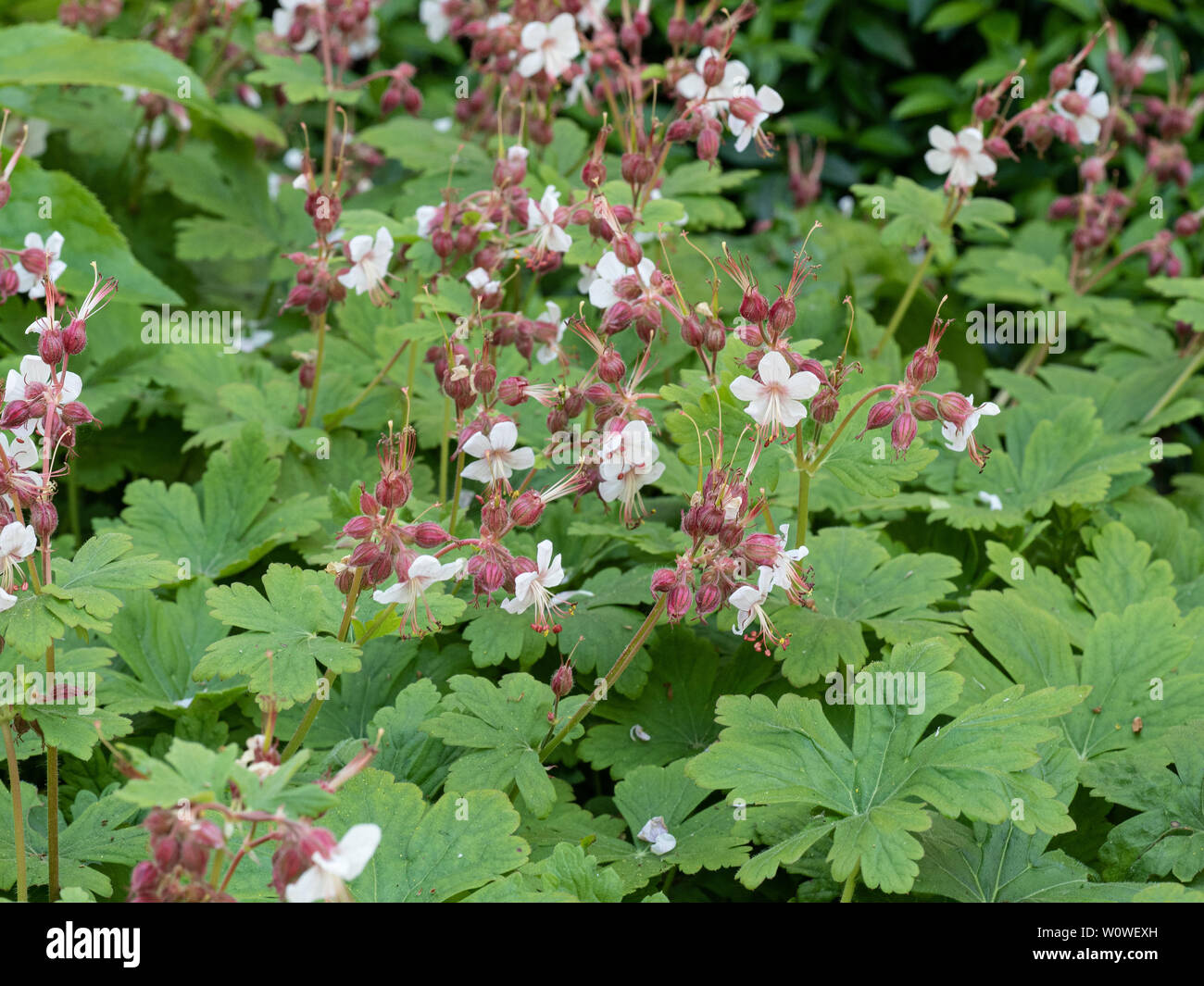 A flowering clump of Geranium macrorrhizum album showing the white flowers and coral calyces - Stock Image