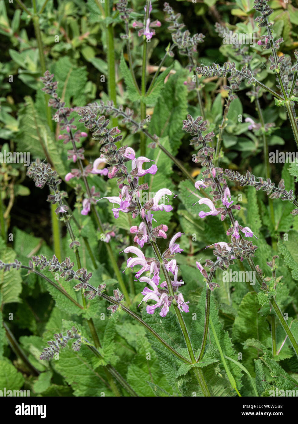 A pink flowering spike of Salvia pratensis Pink Delight - Stock Image