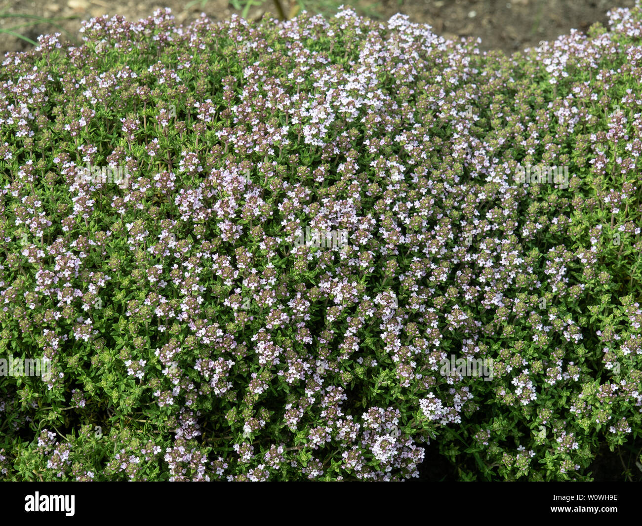 A low hedge of Thumus vulgaris showing the pink flowers that are very attractive to bees - Stock Image
