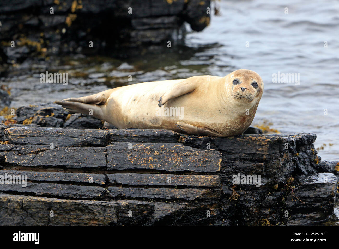 Common Seal basking on a rock on North Ronaldsay Orkney - Stock Image