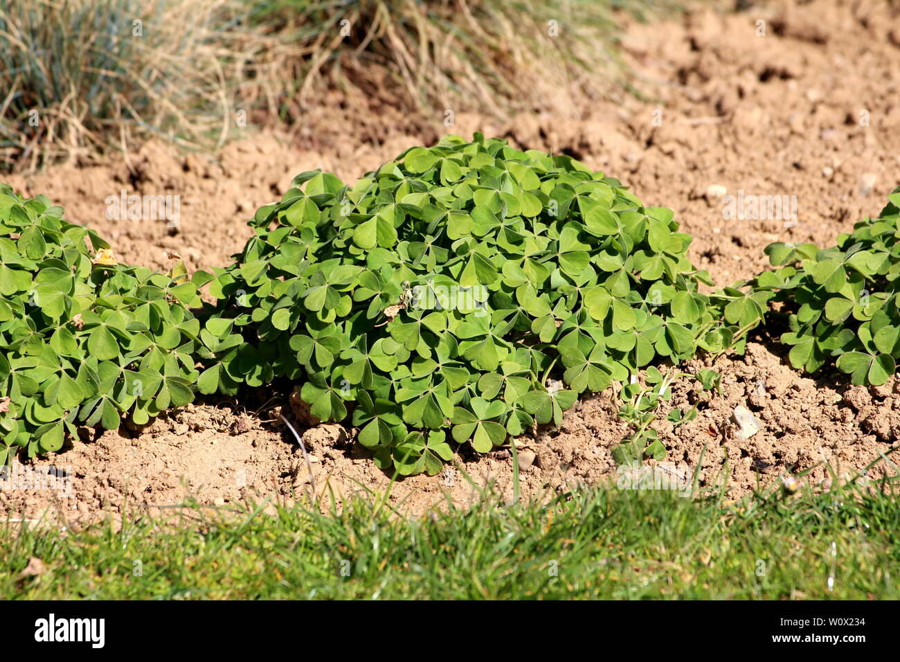 Densely planted dome shaped Clover or Trefoil flowering plants full of beautiful green leaves planted in a row surrounded with dry soil and grass - Stock Image