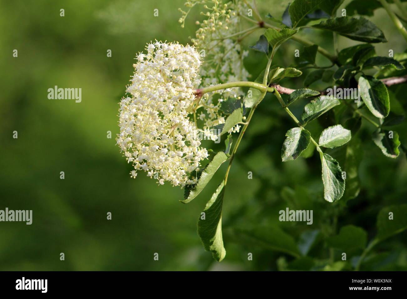 Elderberry Or Sambucus Or Elder Tree Large Cluster Of Small White