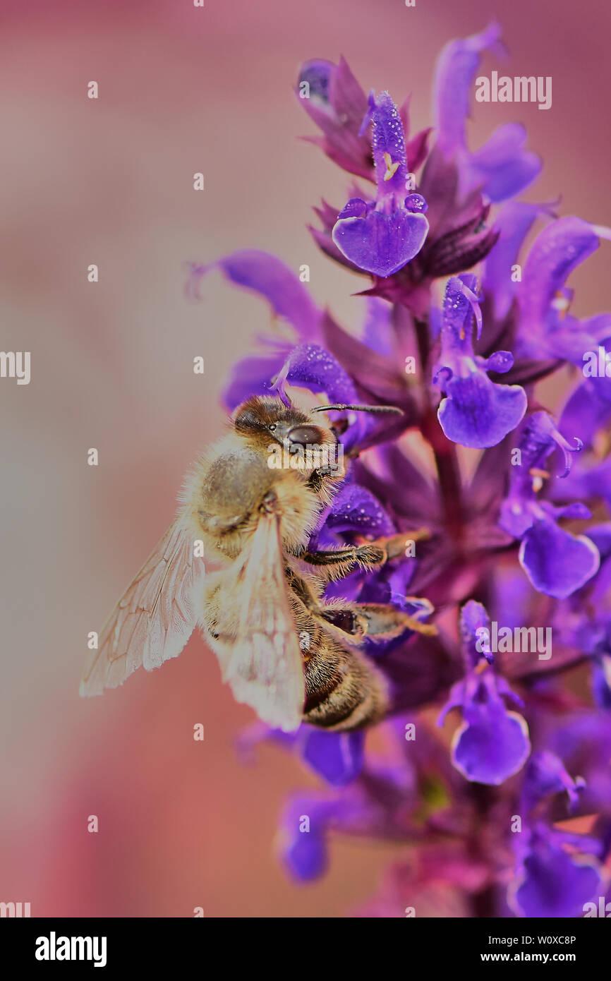 macro of a bee on garden sage - Salvia officinalis - Stock Image