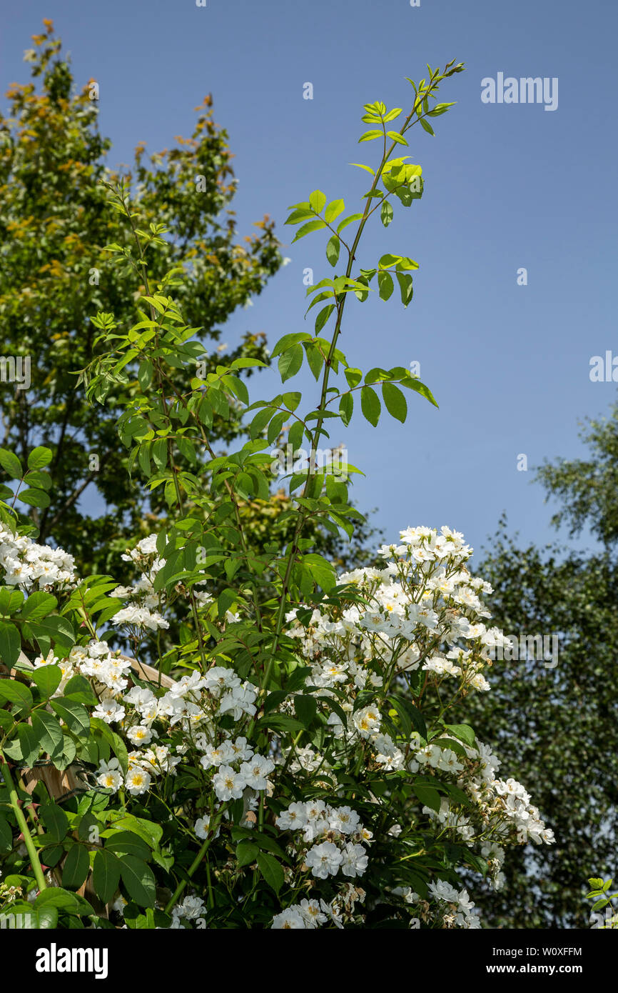 New growth on a Rambling Rector rose, which will produce the flowers in the following year. - Stock Image