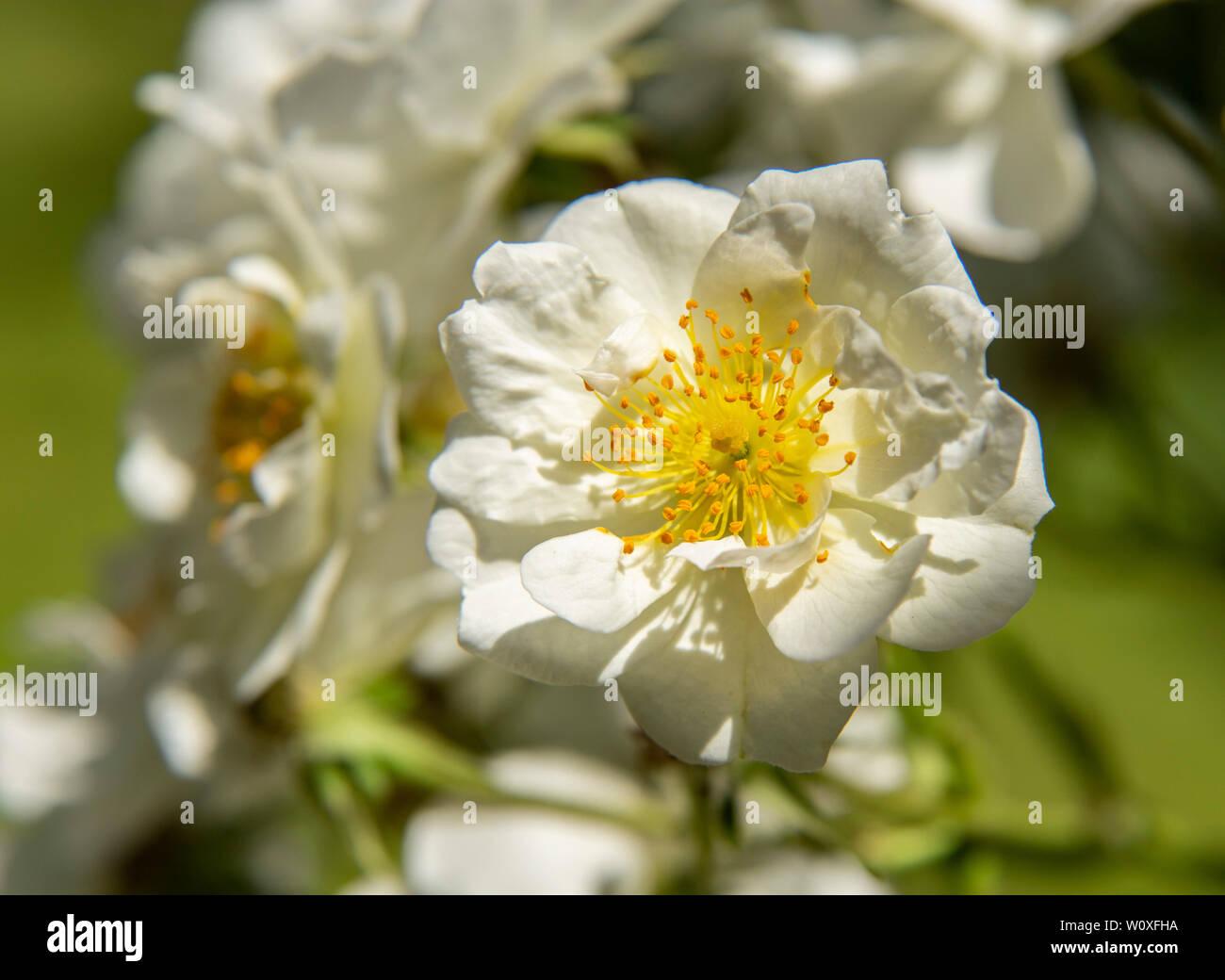 Rambling Rector, a vigorous white rambling rose in flower on a garden arch. - Stock Image