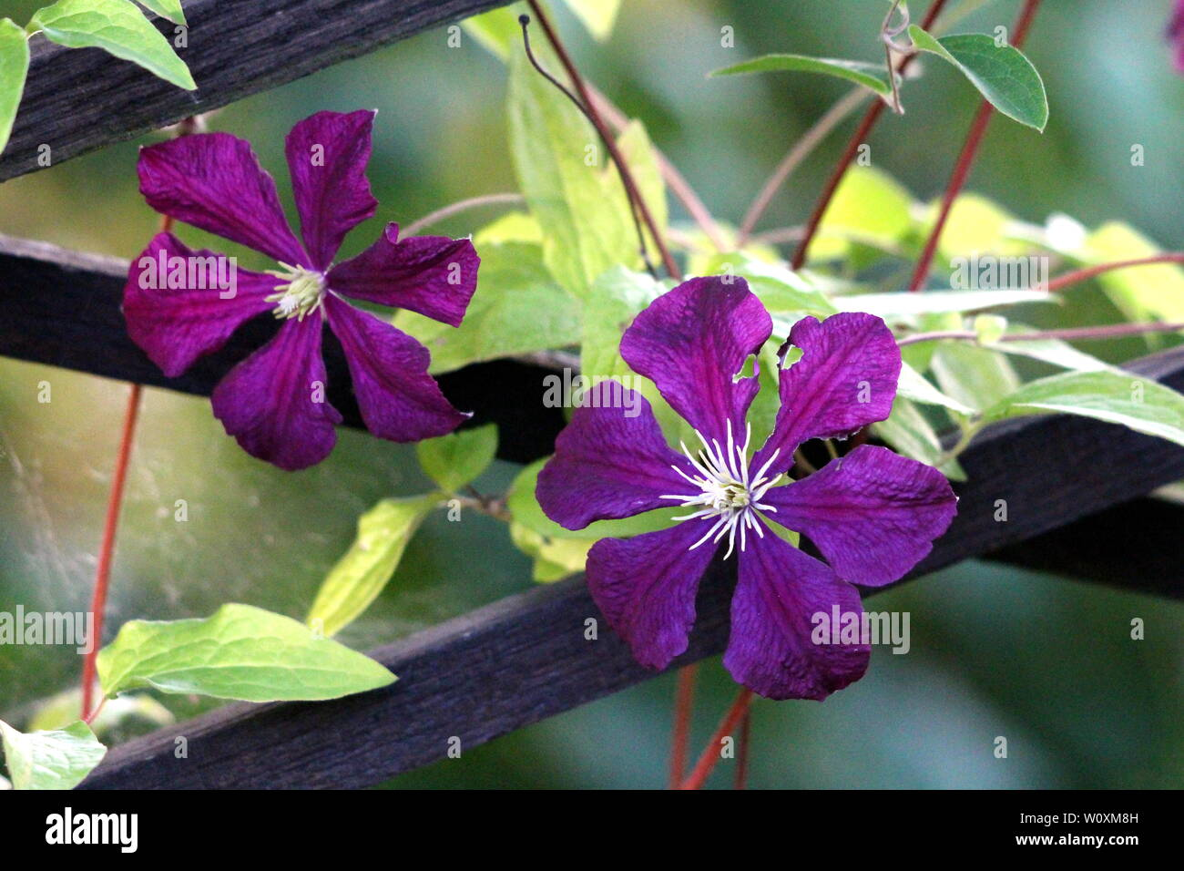 Two Clematis Or Leather Flowers Dark Purple Easy Care Perennial