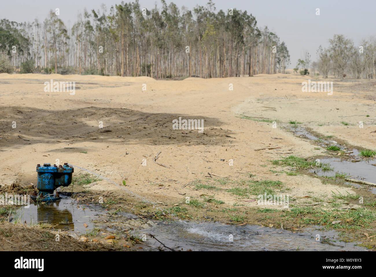 EGYPT, Ismallia , Sarapium forest in the desert, the eucalyptus trees are irrigated by treated sewage water from Ismalia / AEGYPTEN, Ismailia, Sarapium Forstprojekt in der Wueste, die Baeume werden mit geklaertem Abwasser der Stadt Ismalia bewaessert Stock Photo