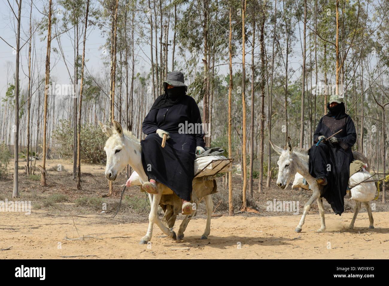 EGYPT, Ismallia , Sarapium forest in the desert, eucalyptus trees are irrigated by treated sewage water from Ismalia, two women riding on donkeys / AEGYPTEN, Ismailia, Sarapium Forstprojekt in der Wueste, die Baeume werden mit geklaertem Abwasser der Stadt Ismalia bewaessert, zwei Frauen auf Eseln Stock Photo