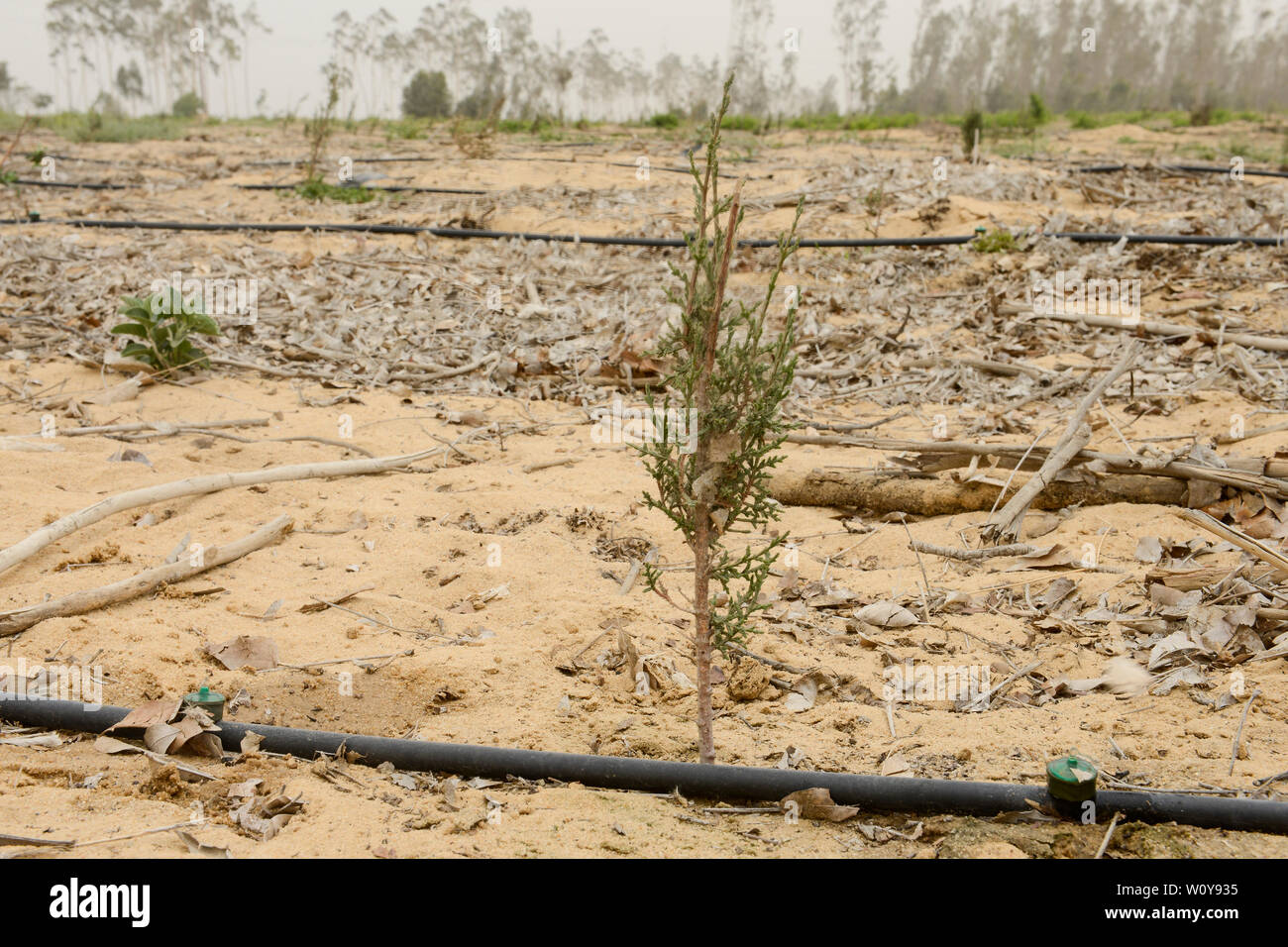 EGYPT, Ismallia , Sarapium forest in the desert, the trees are irrigated by treated sewage water from Ismalia, new cypress plantation with drip irrigation Stock Photo