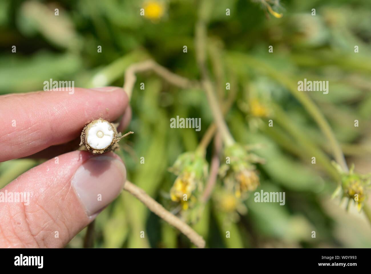 Naturkautschuk Latex Baum Seltene 5 Feinste Samen