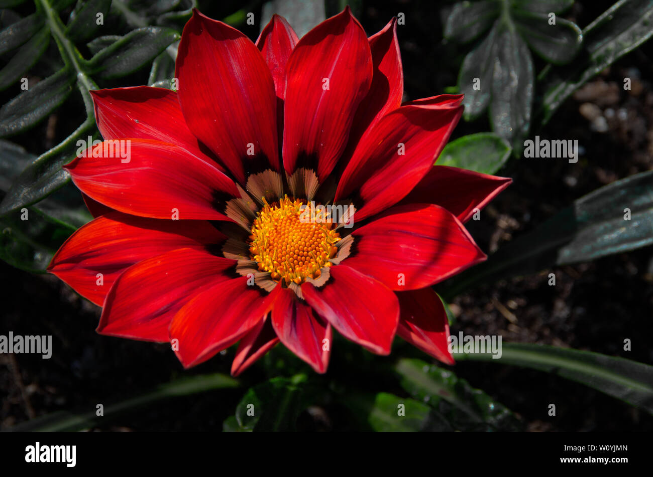 Red Gazania flower Stock Photo