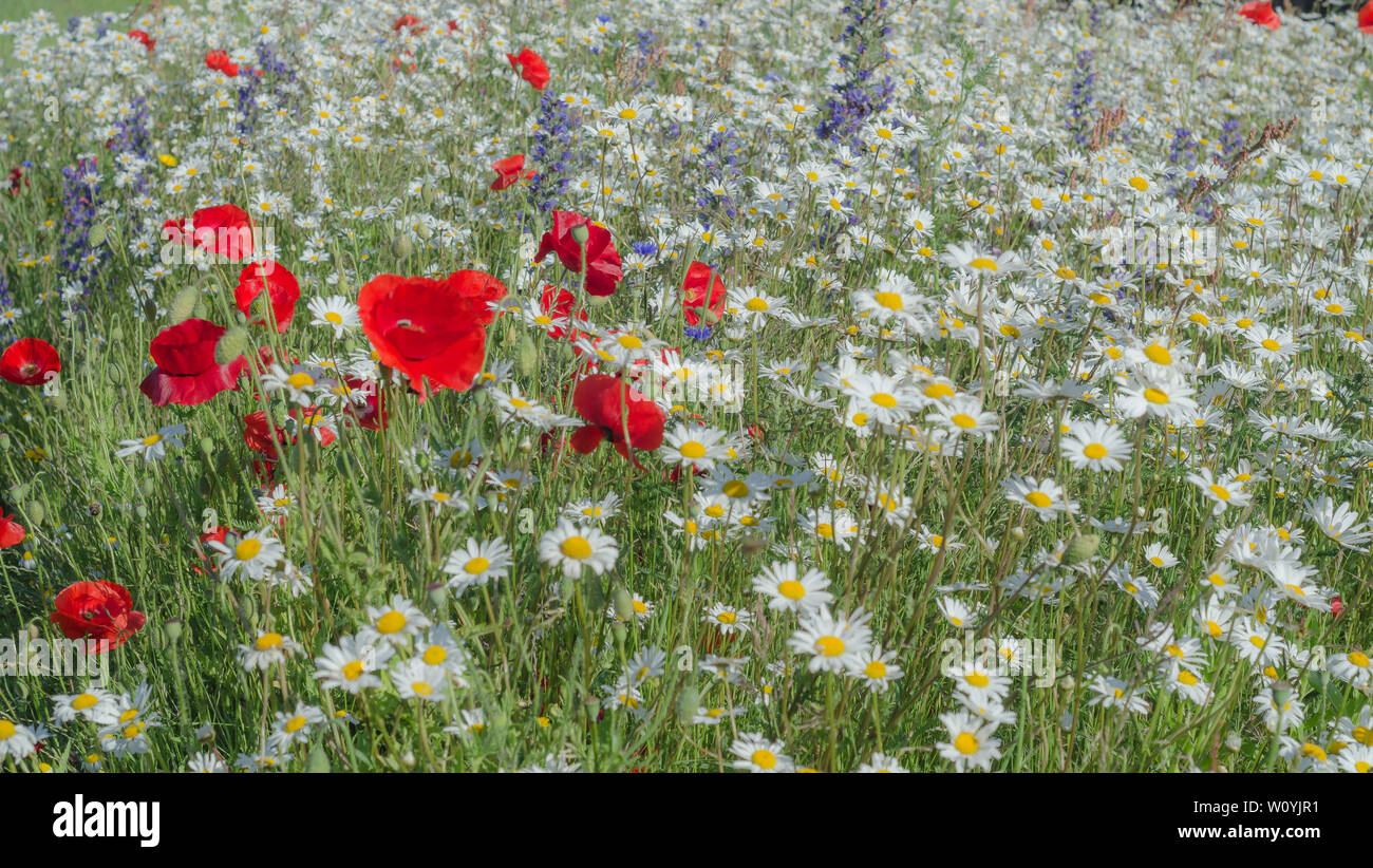 Wild Poppies and wildflowers - Stock Image