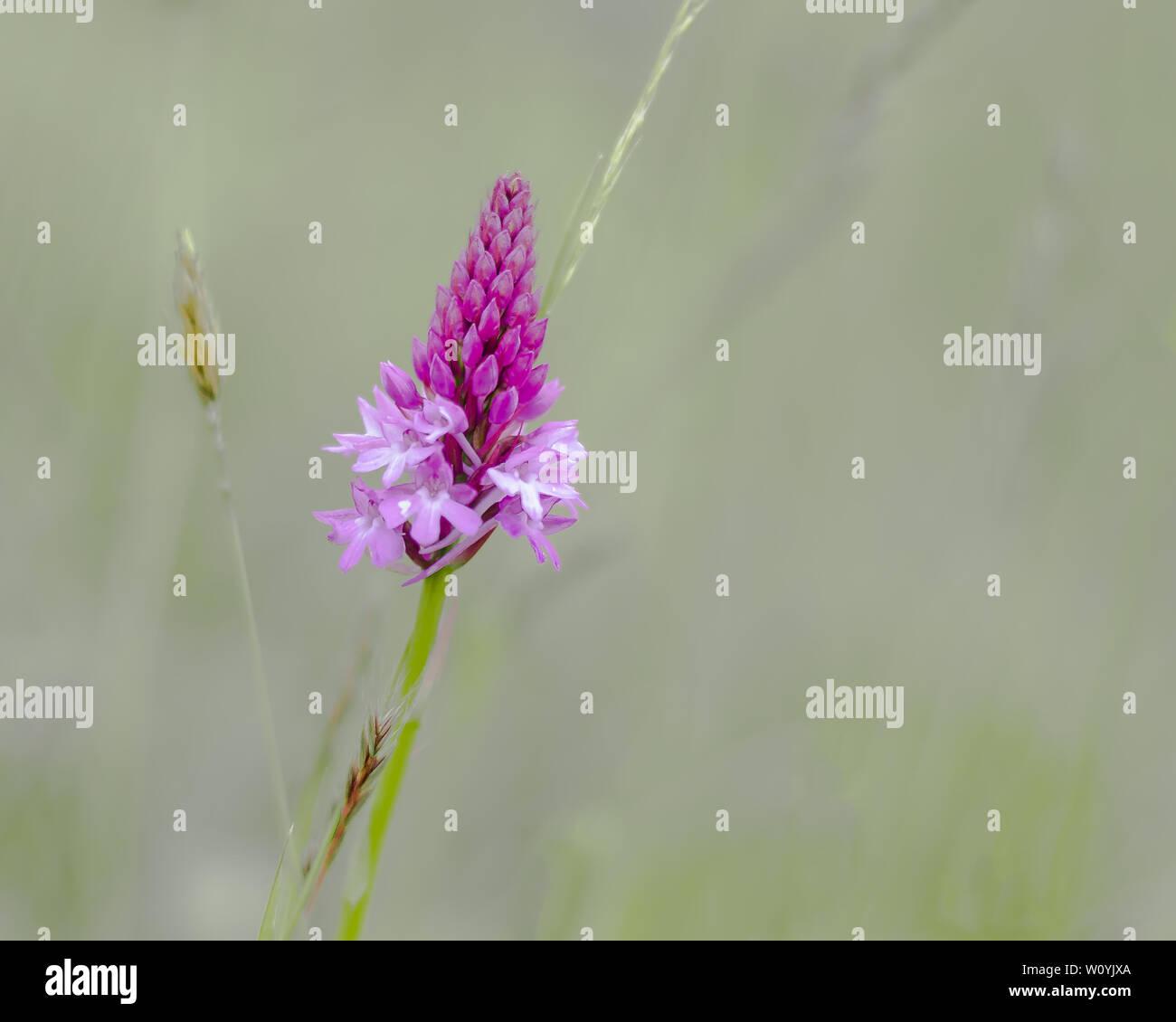 Wild Pyramidal Orchid flower Stock Photo