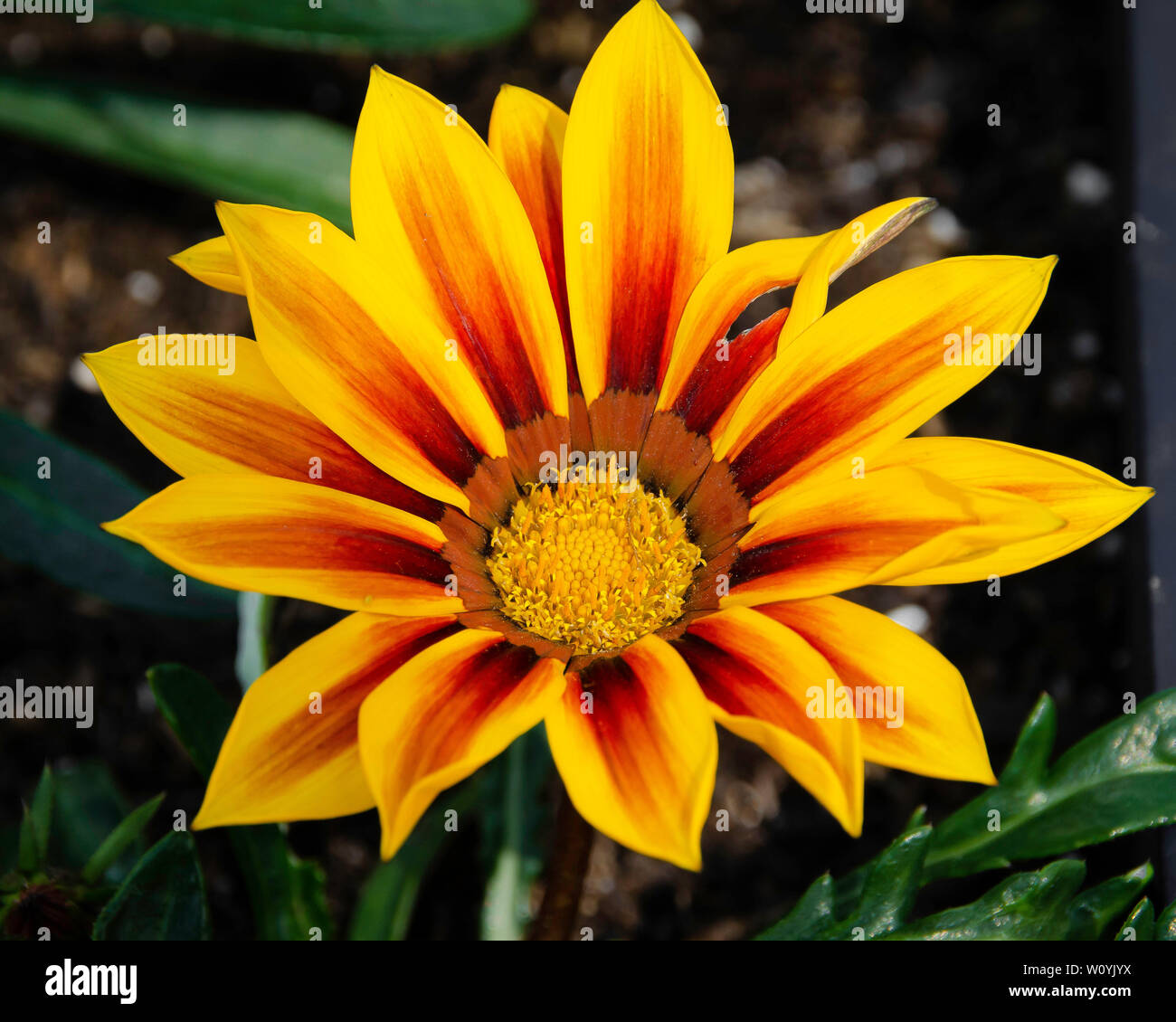 Red and yellow gazania flower Stock Photo